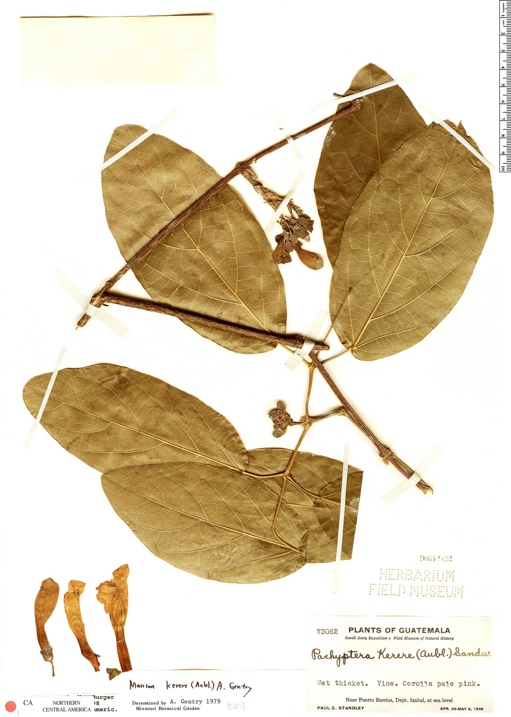 Espécime: Pachyptera kerere