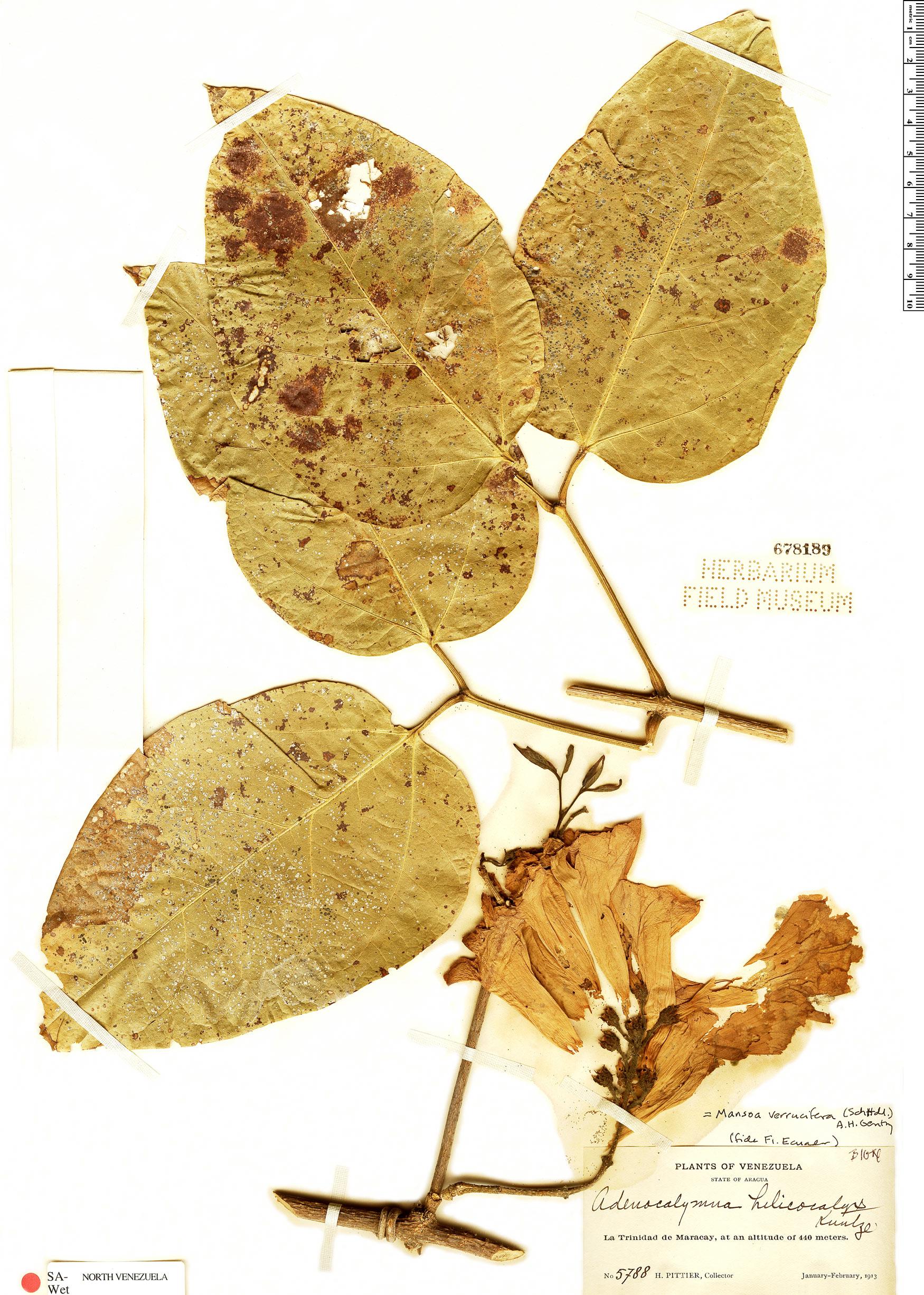 Specimen: Mansoa verrucifera
