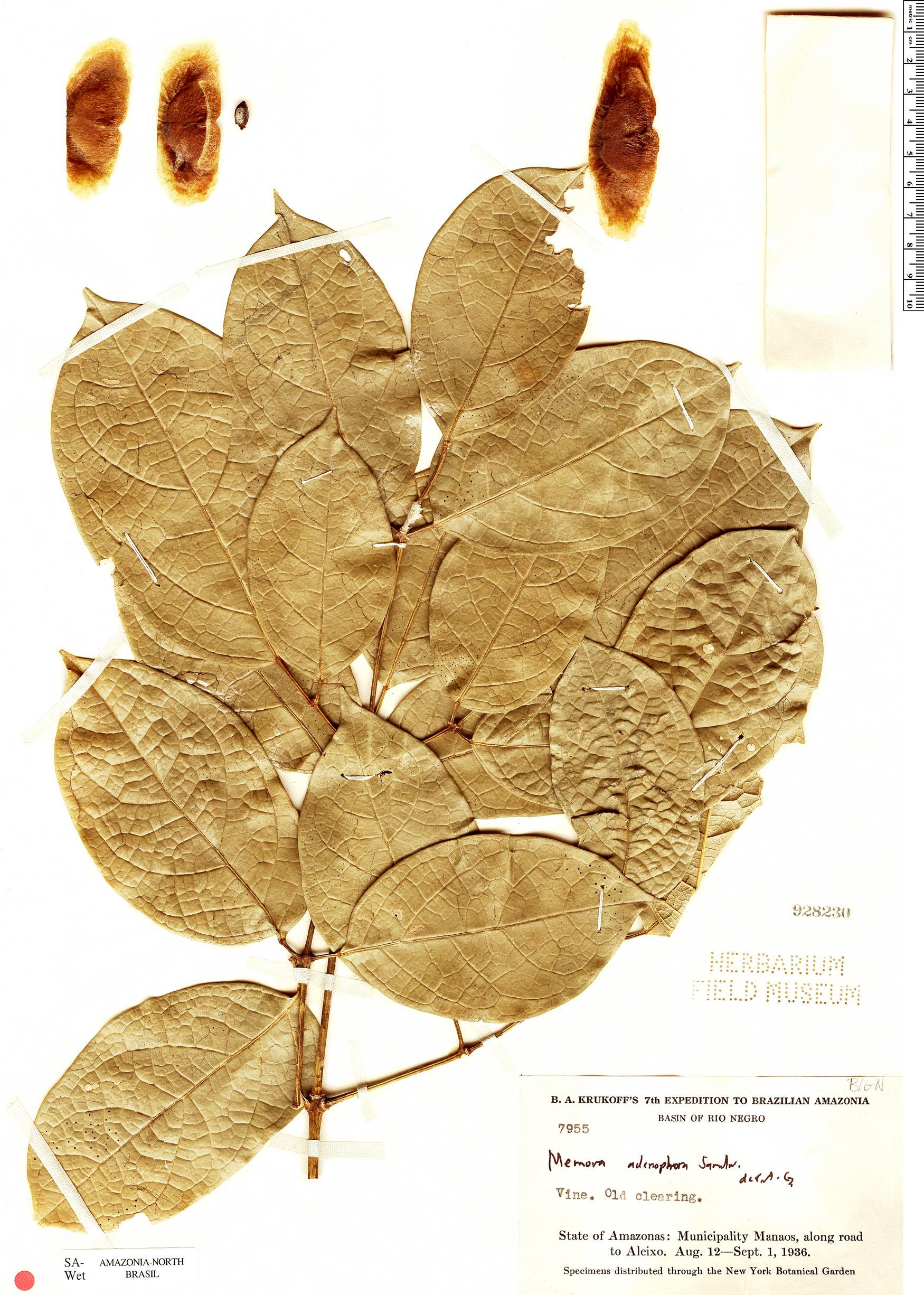 Specimen: Adenocalymma adenophorum