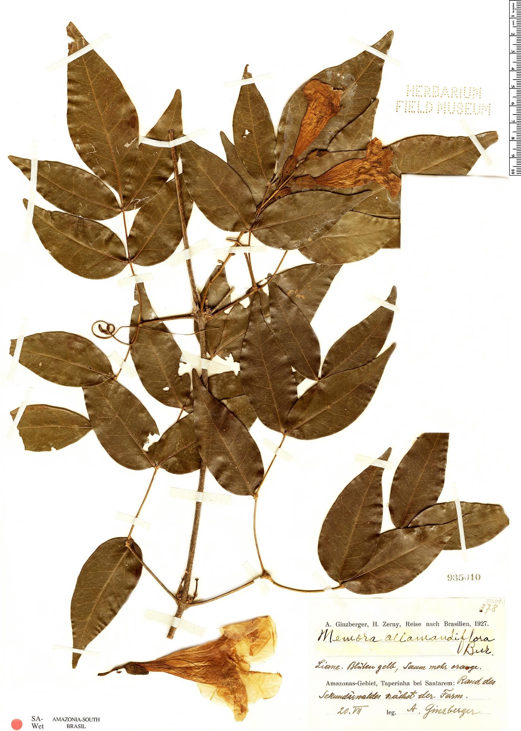Espécimen: Adenocalymma allamandiflorum