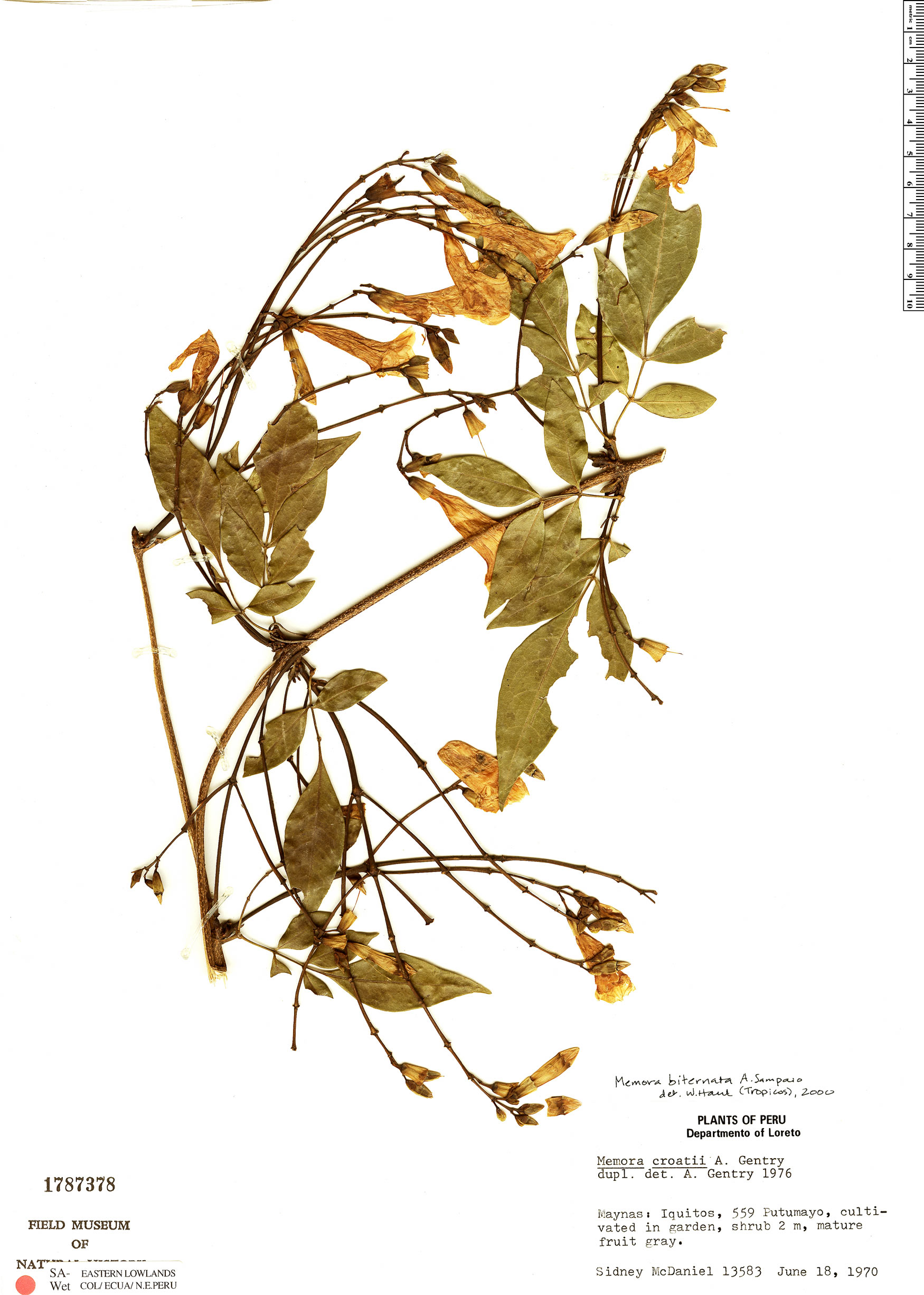 Specimen: Adenocalymma biternatum