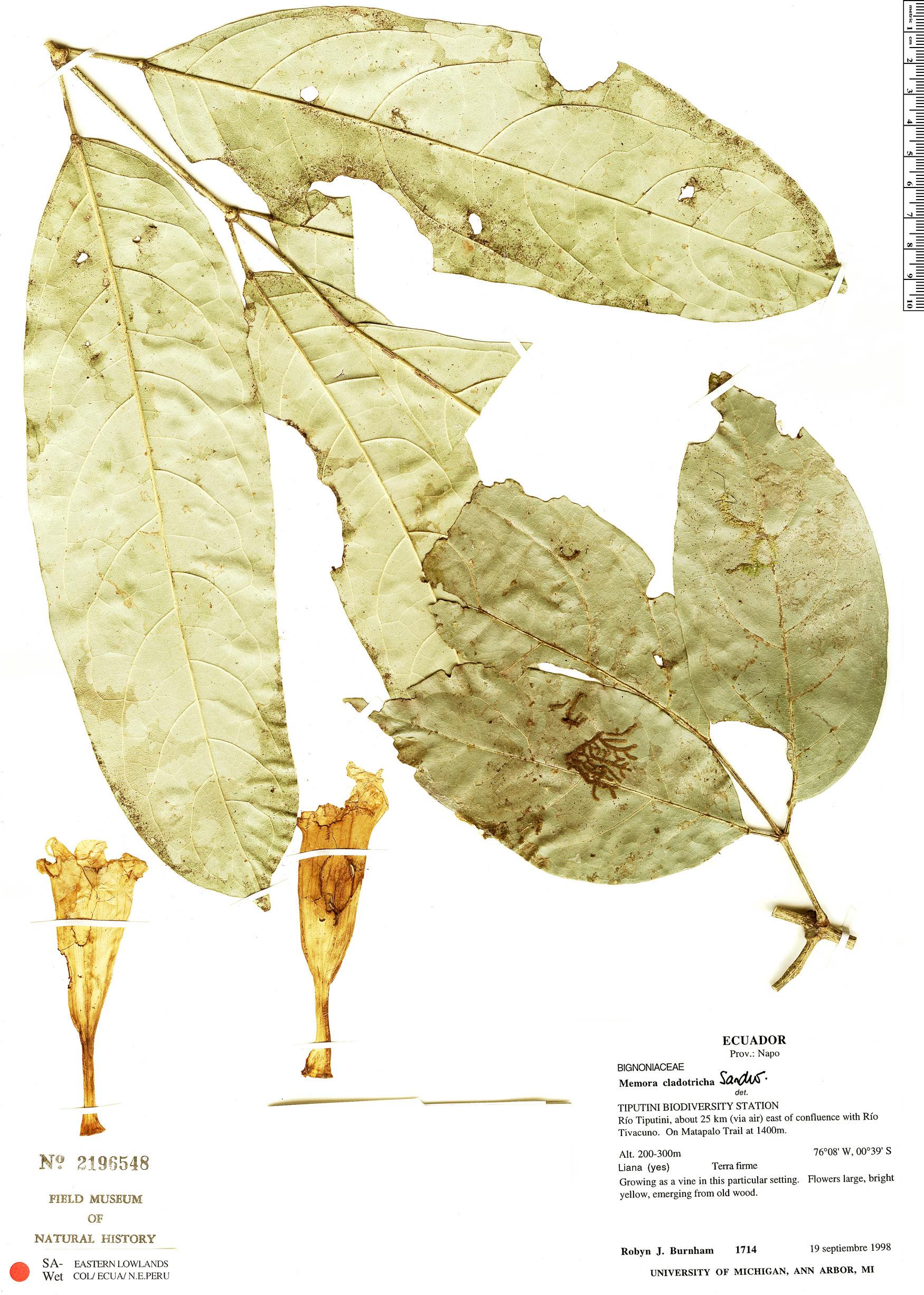 Specimen: Adenocalymma cladotrichum