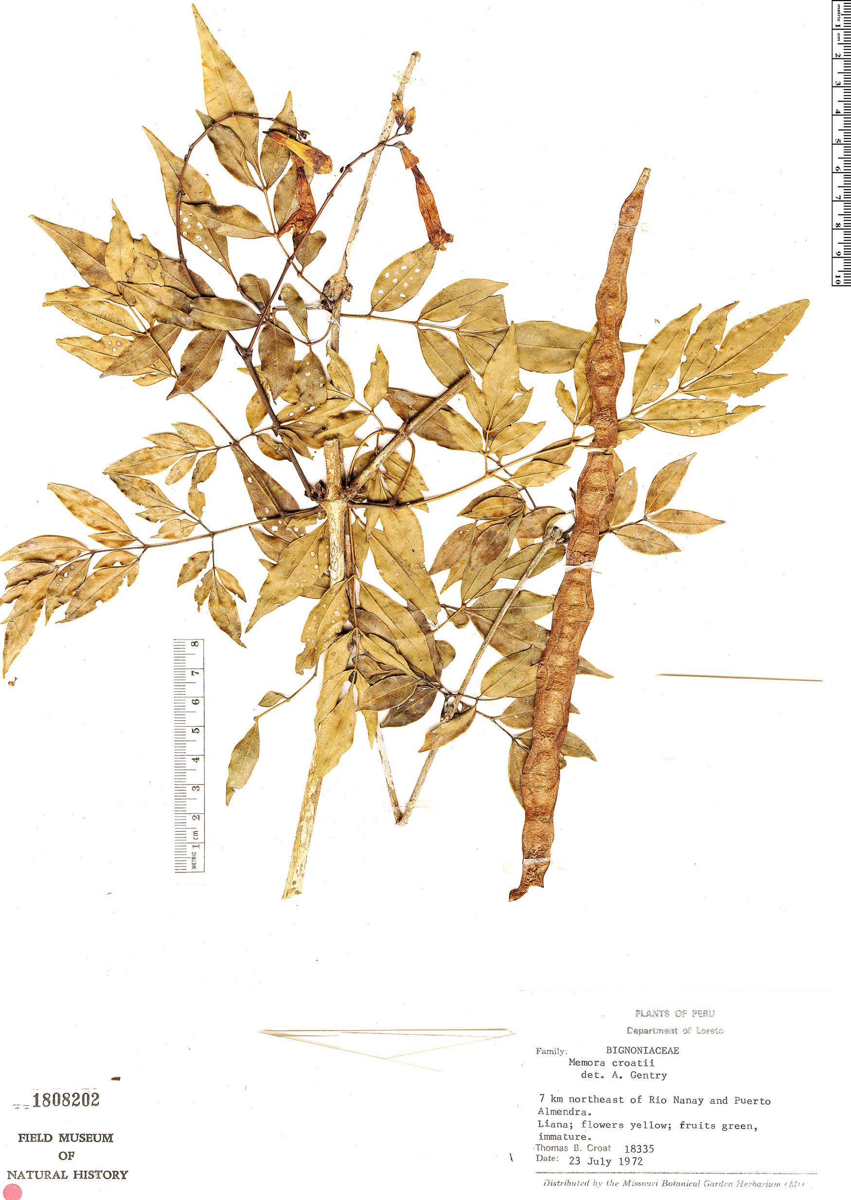 Specimen: Adenocalymma croatii