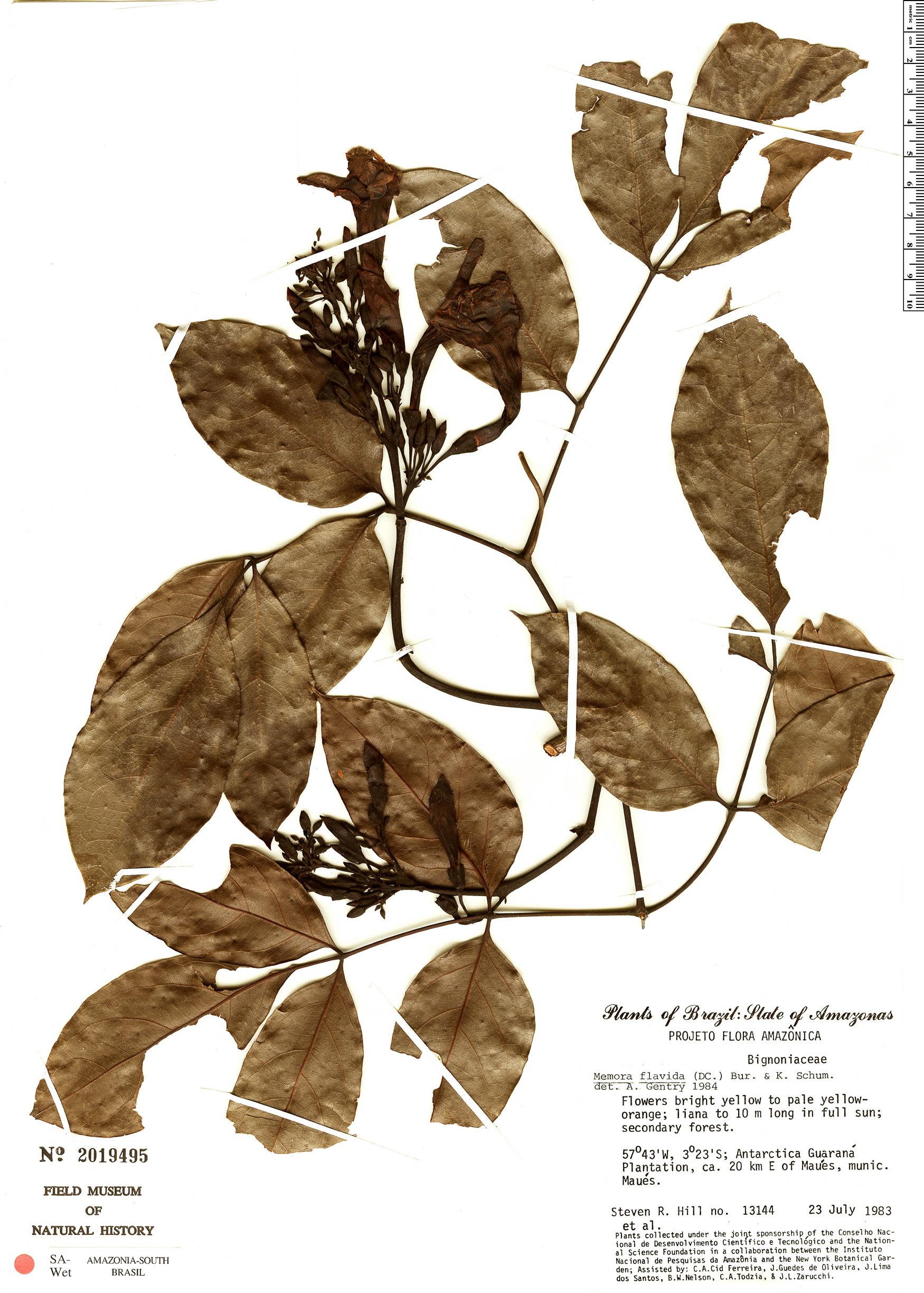 Specimen: Adenocalymma validum