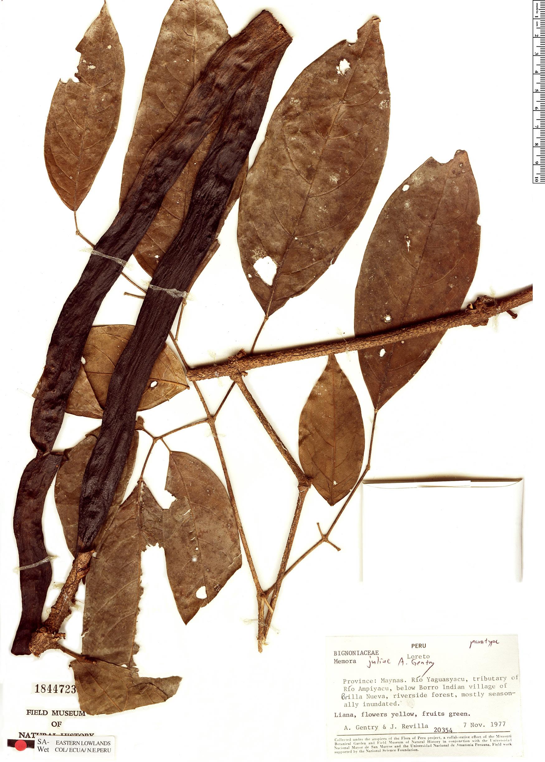 Specimen: Adenocalymma juliae