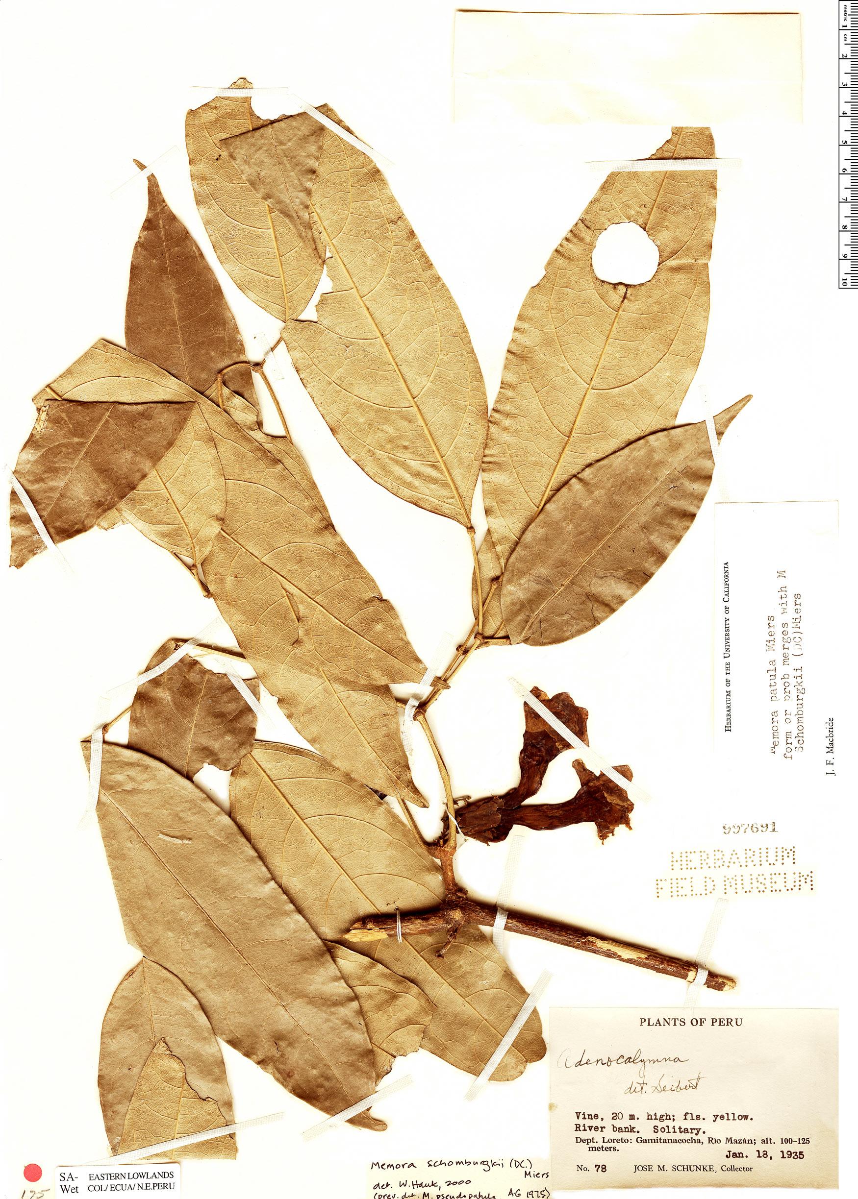 Specimen: Adenocalymma schomburgkii