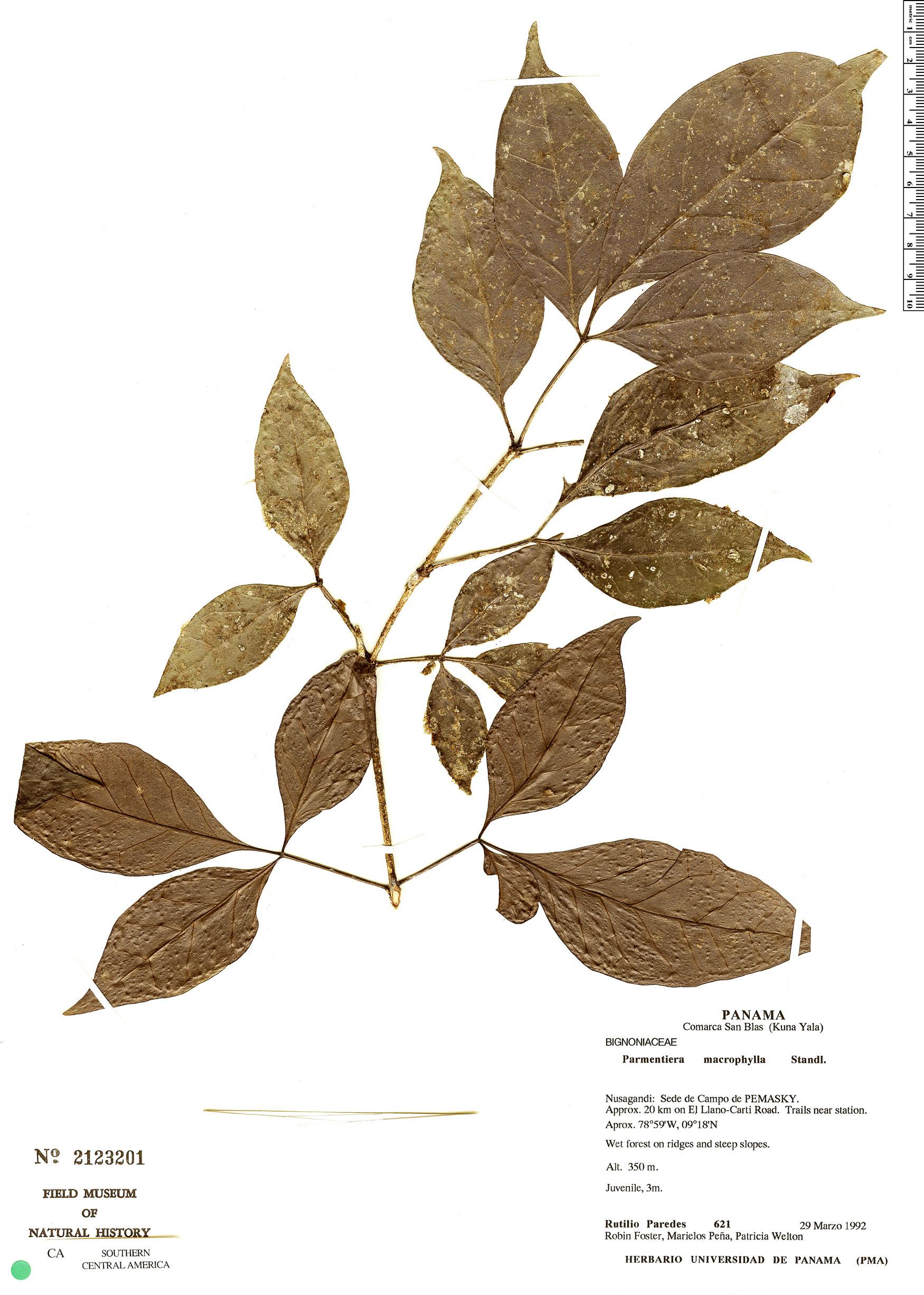 Specimen: Parmentiera macrophylla