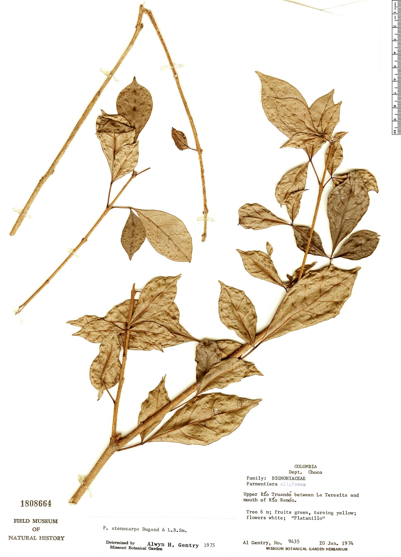Specimen: Parmentiera stenocarpa