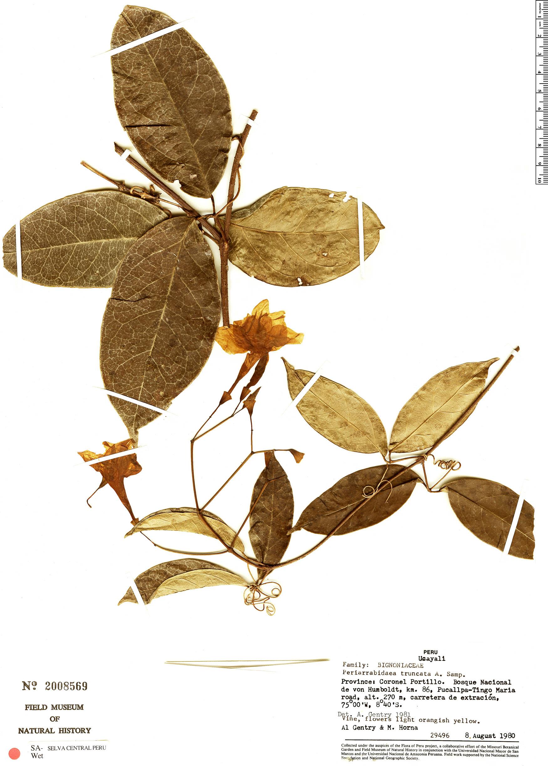 Specimen: Tanaecium truncatum