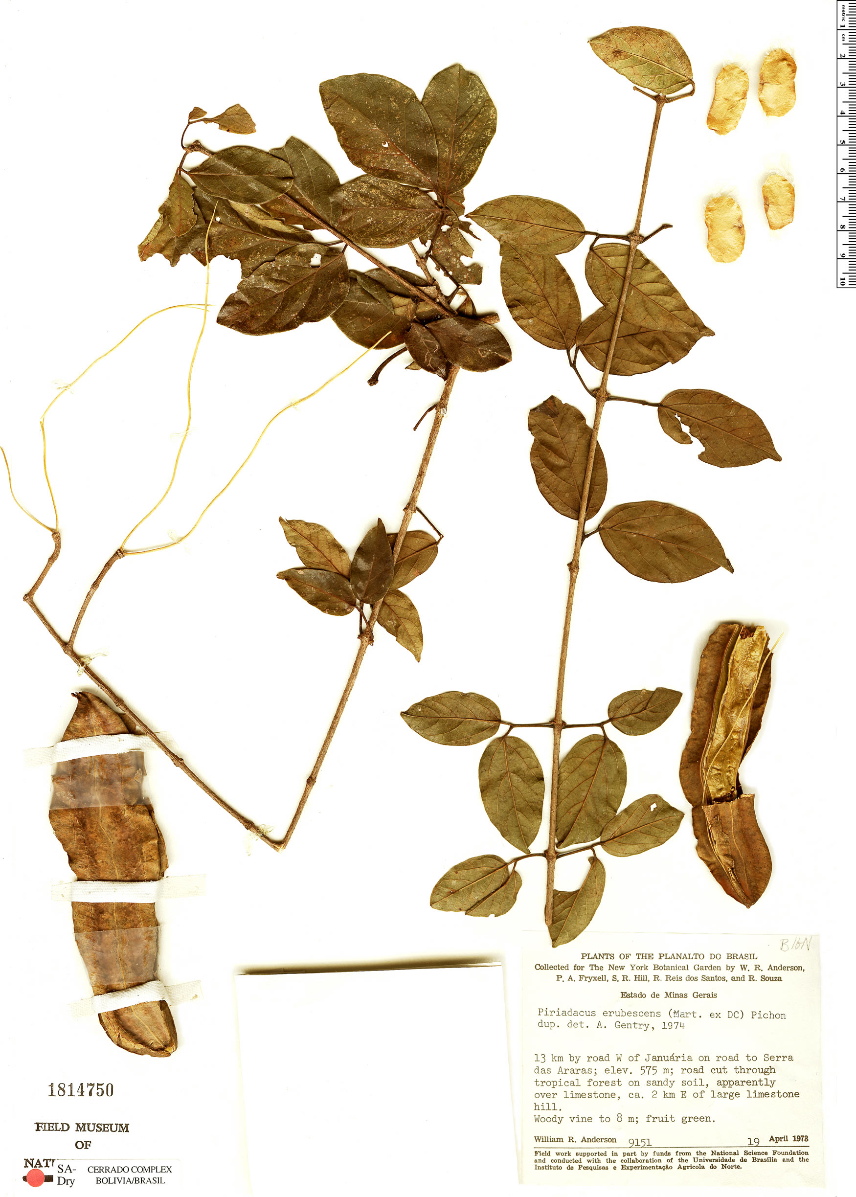 Specimen: Fridericia erubescens