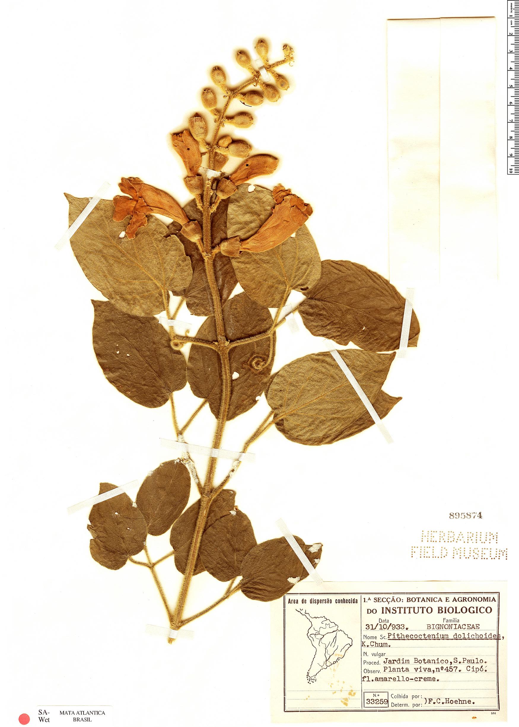 Specimen: Amphilophium dolichoides