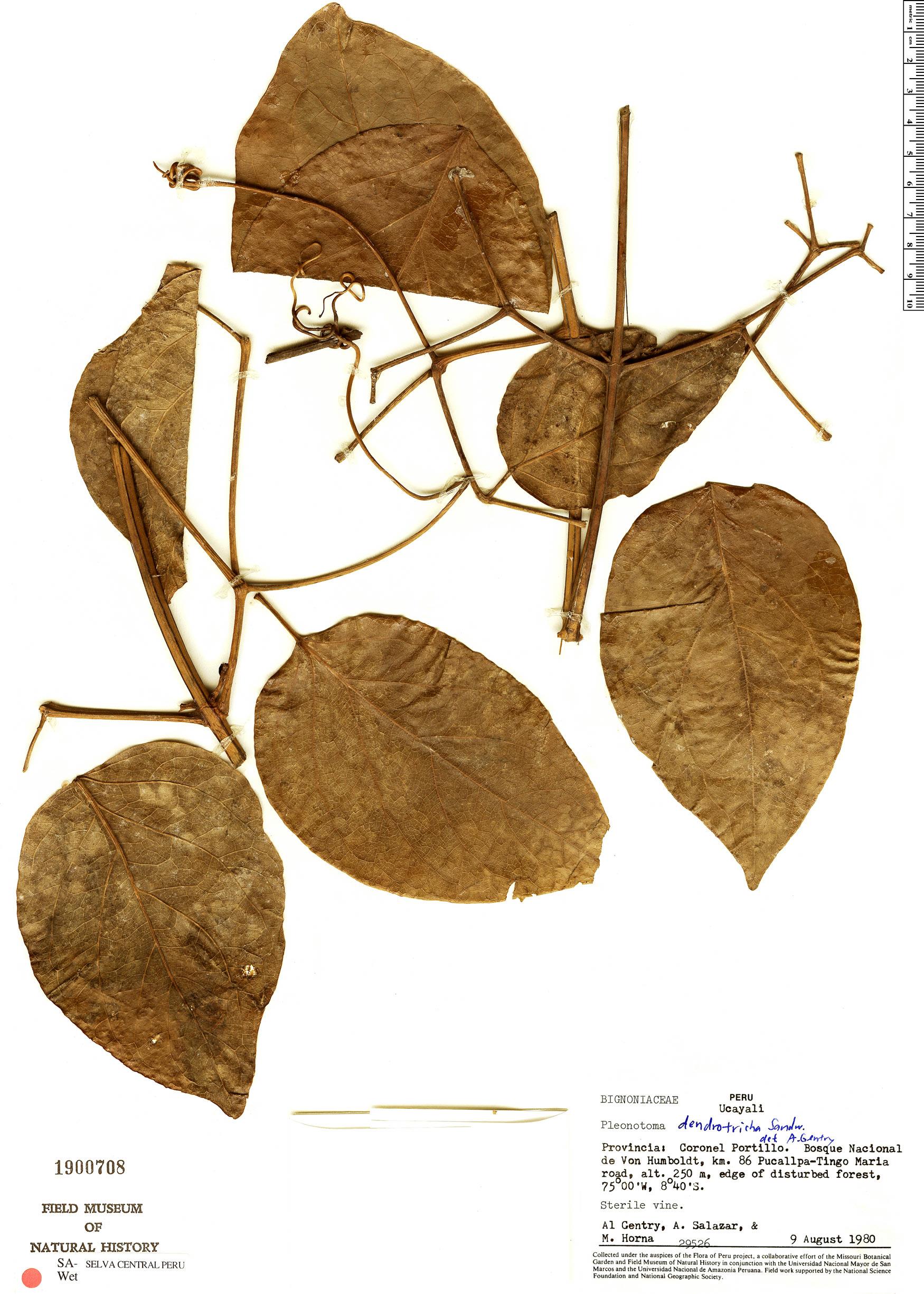 Espécimen: Pleonotoma dendrotricha