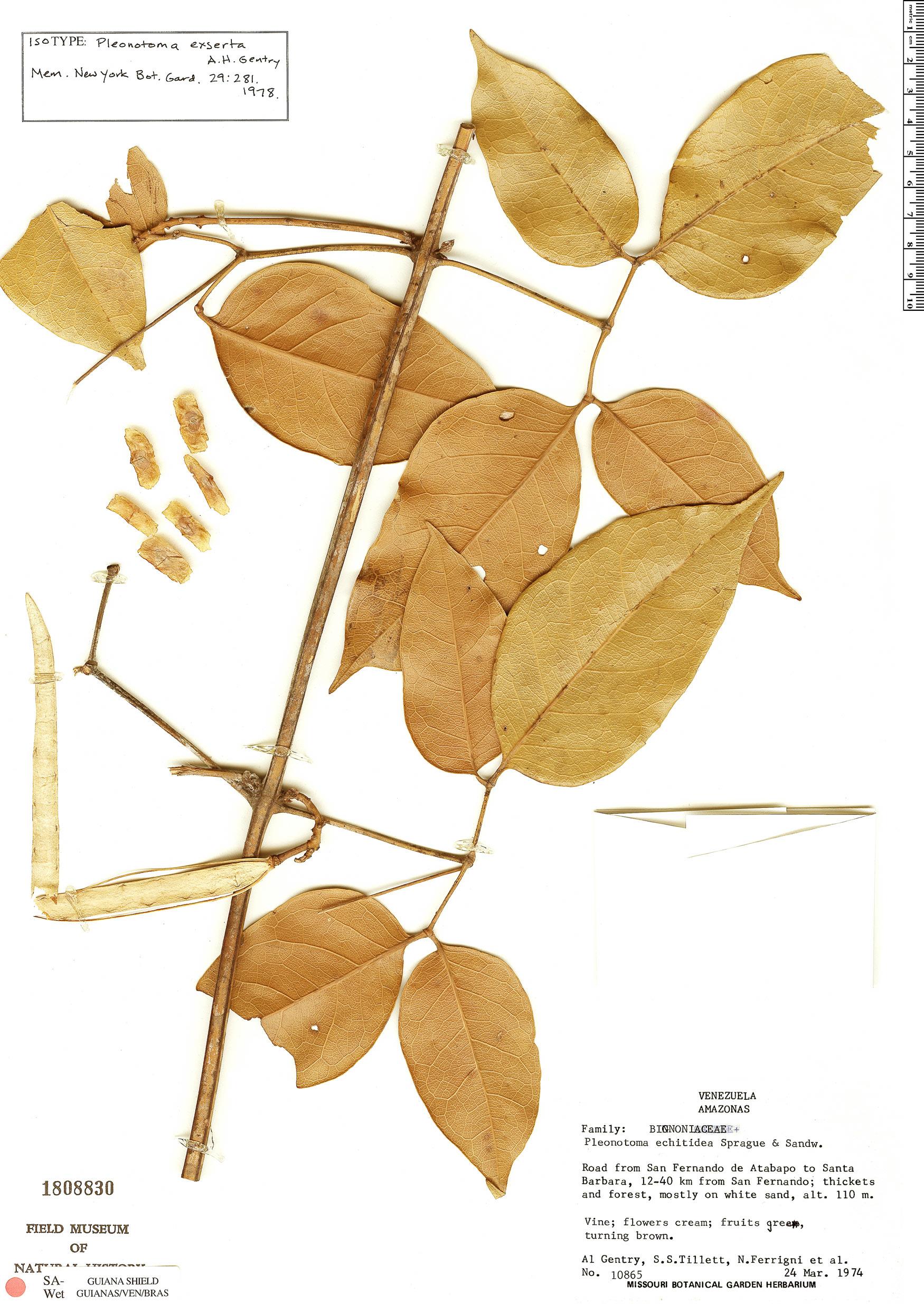 Specimen: Pleonotoma exserta