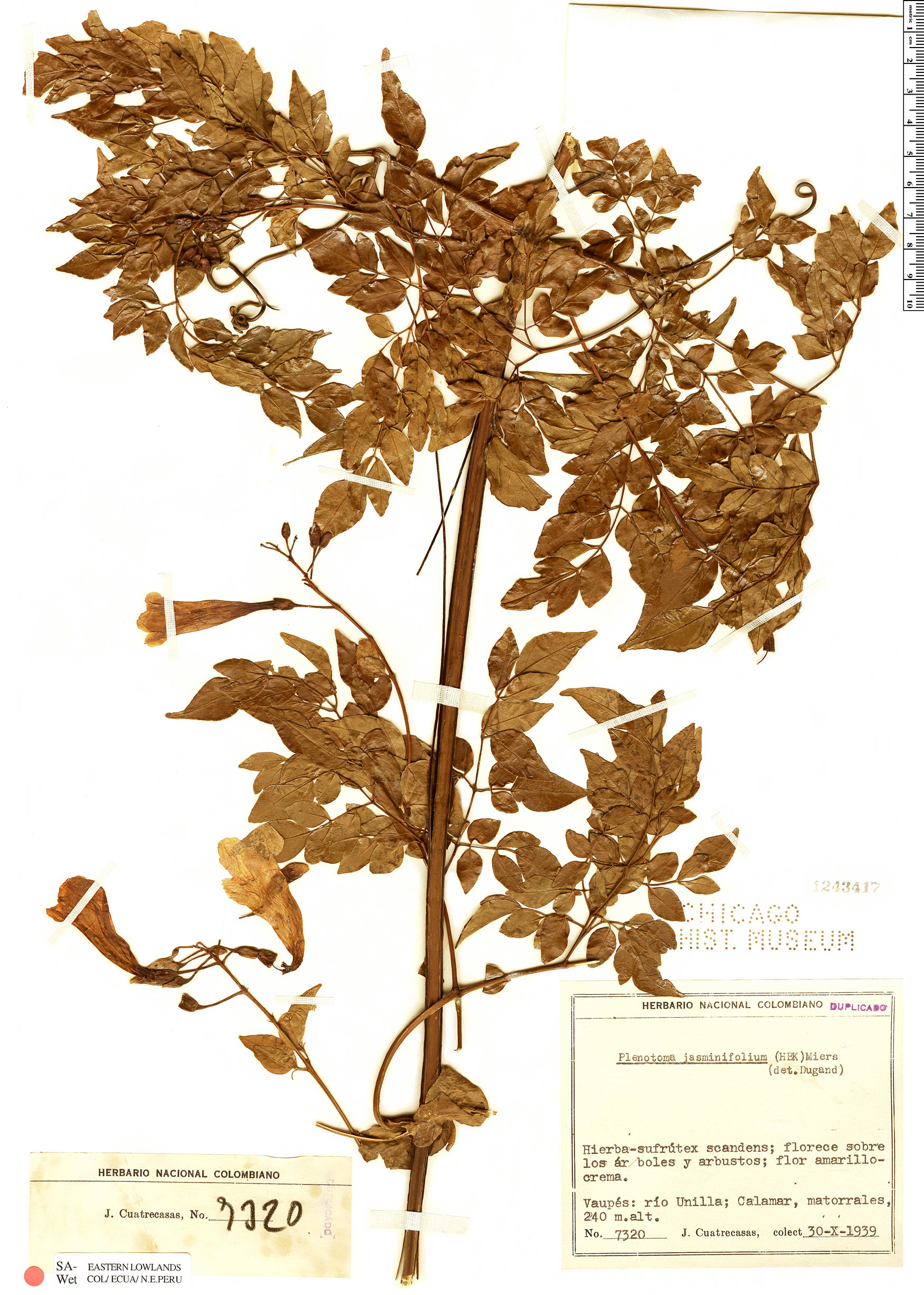 Specimen: Pleonotoma jasminifolia