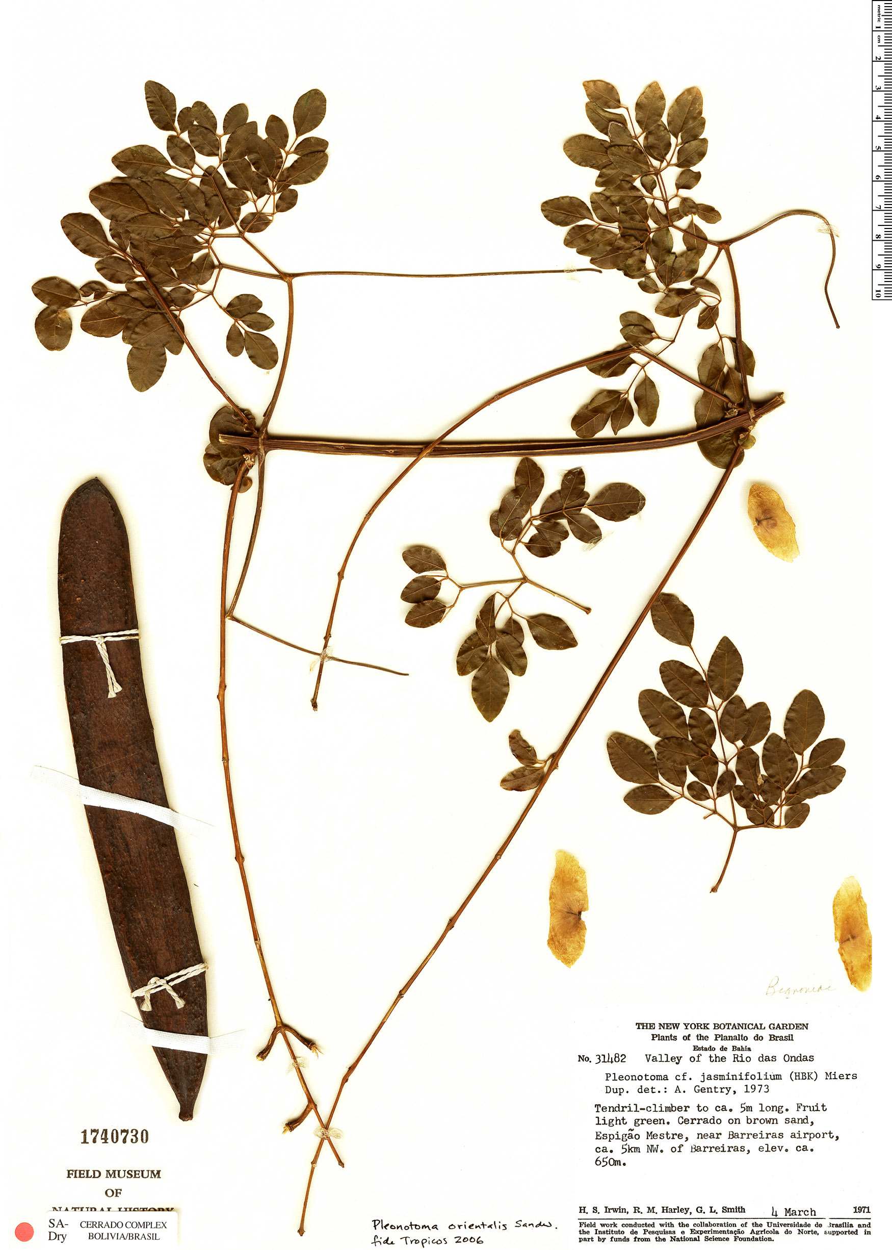 Specimen: Pleonotoma orientalis