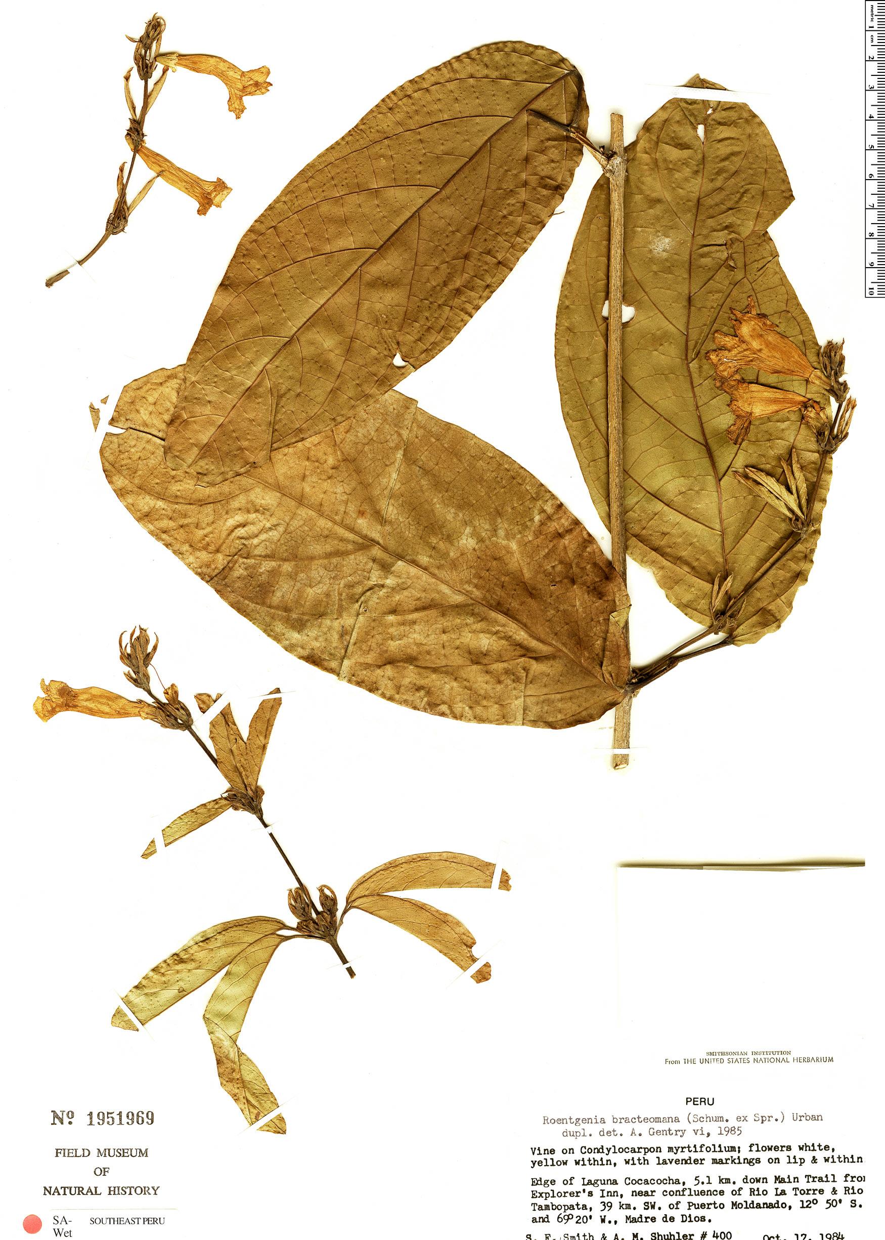 Specimen: Bignonia bracteomana