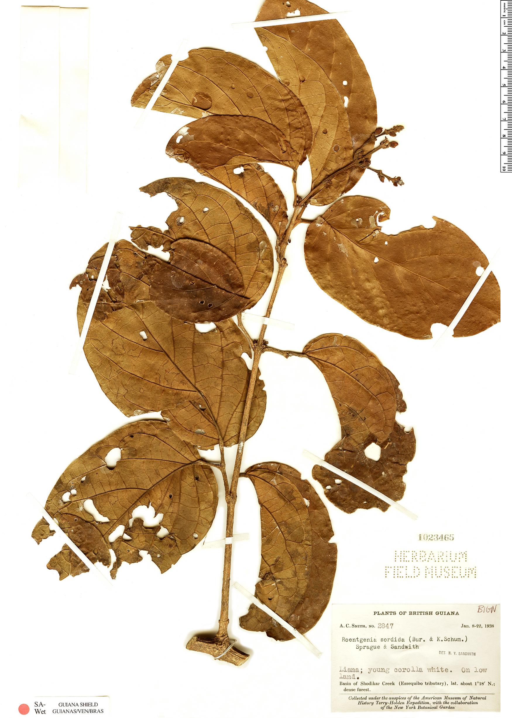 Espécime: Bignonia sordida