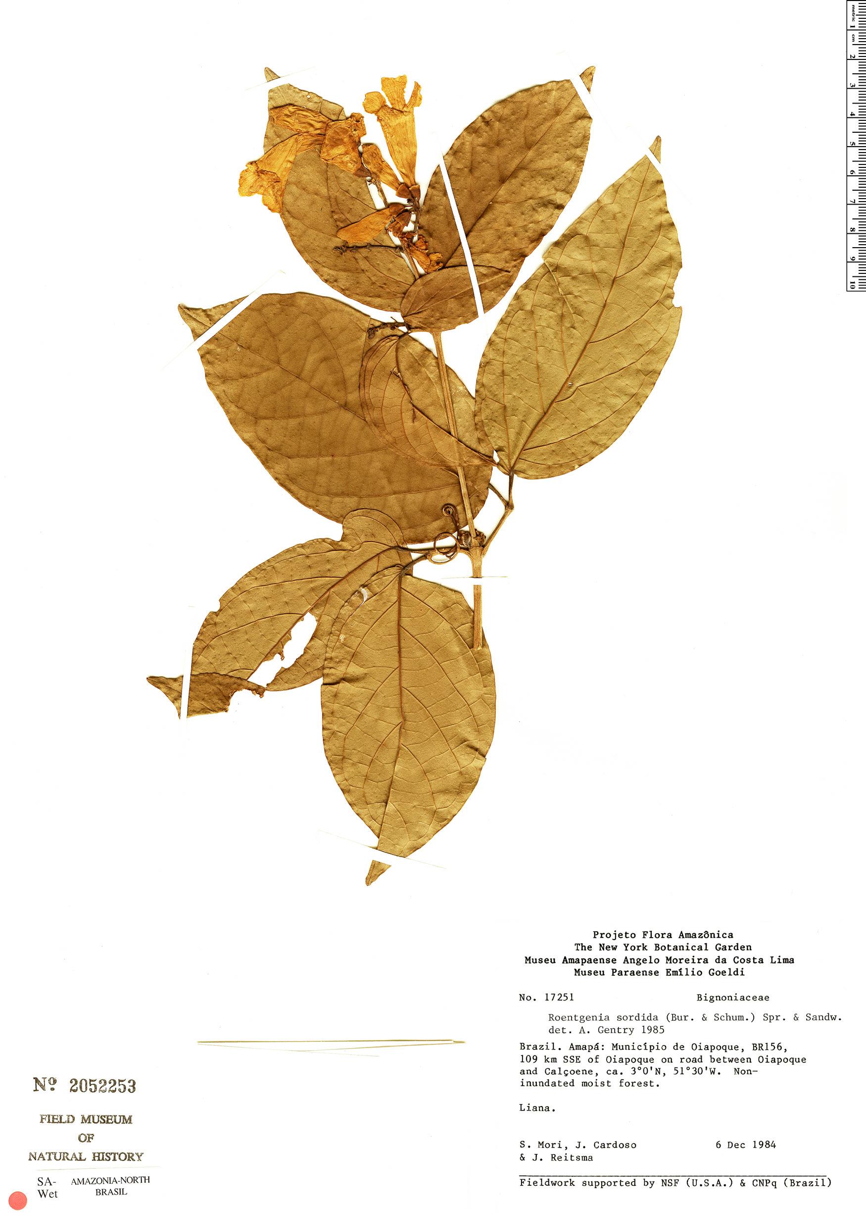 Espécimen: Bignonia sordida