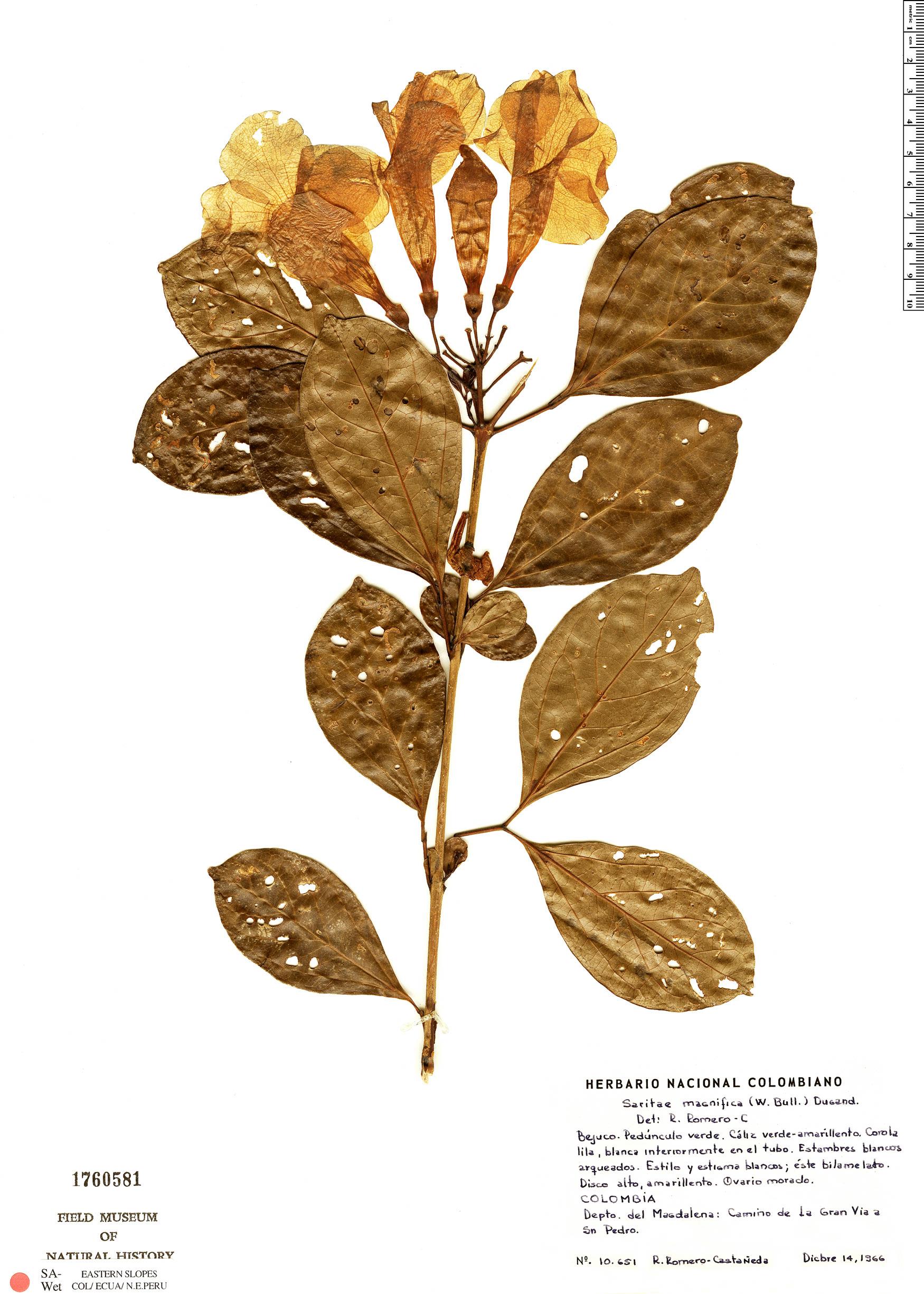 Specimen: Bignonia magnifica