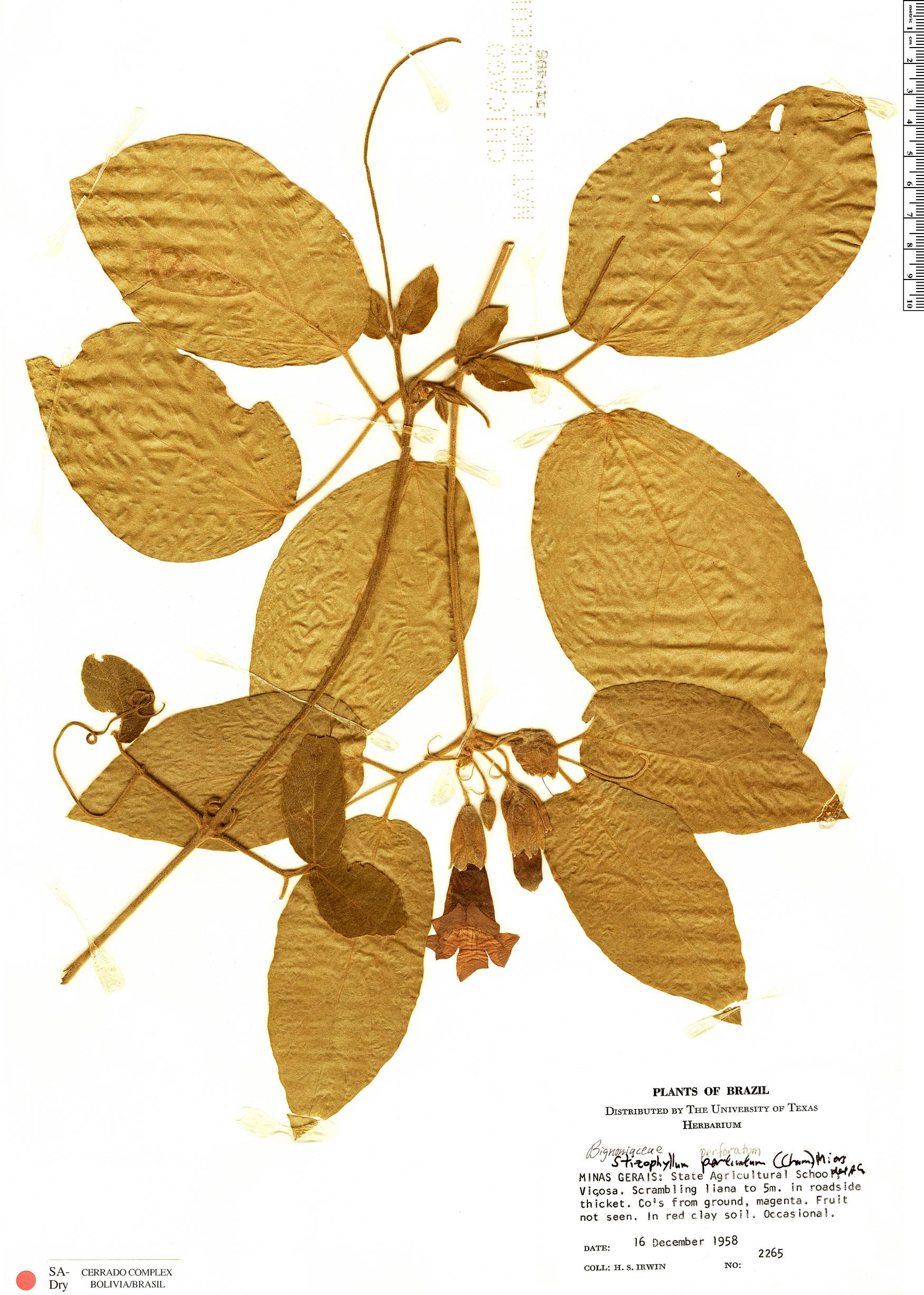 Specimen: Stizophyllum perforatum