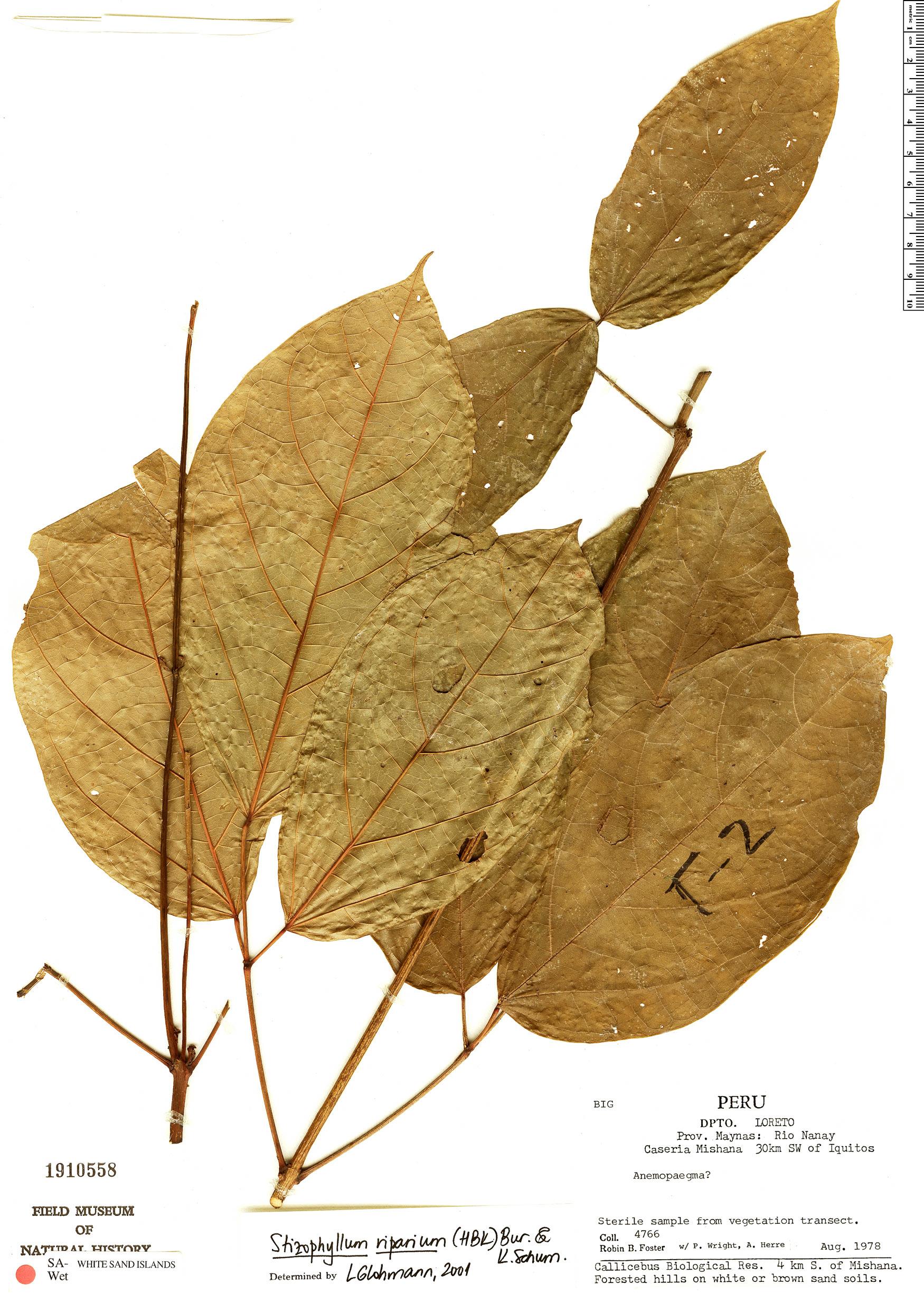 Espécimen: Stizophyllum riparium
