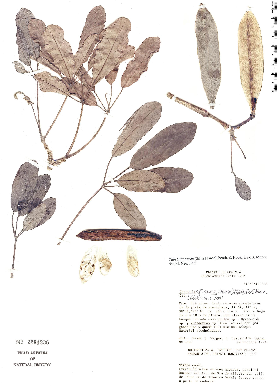 Espécimen: Tabebuia aurea