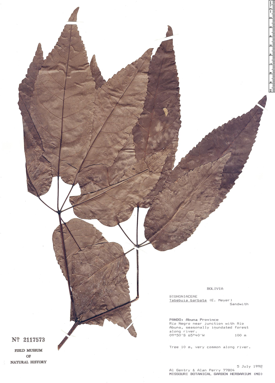 Specimen: Handroanthus barbatus