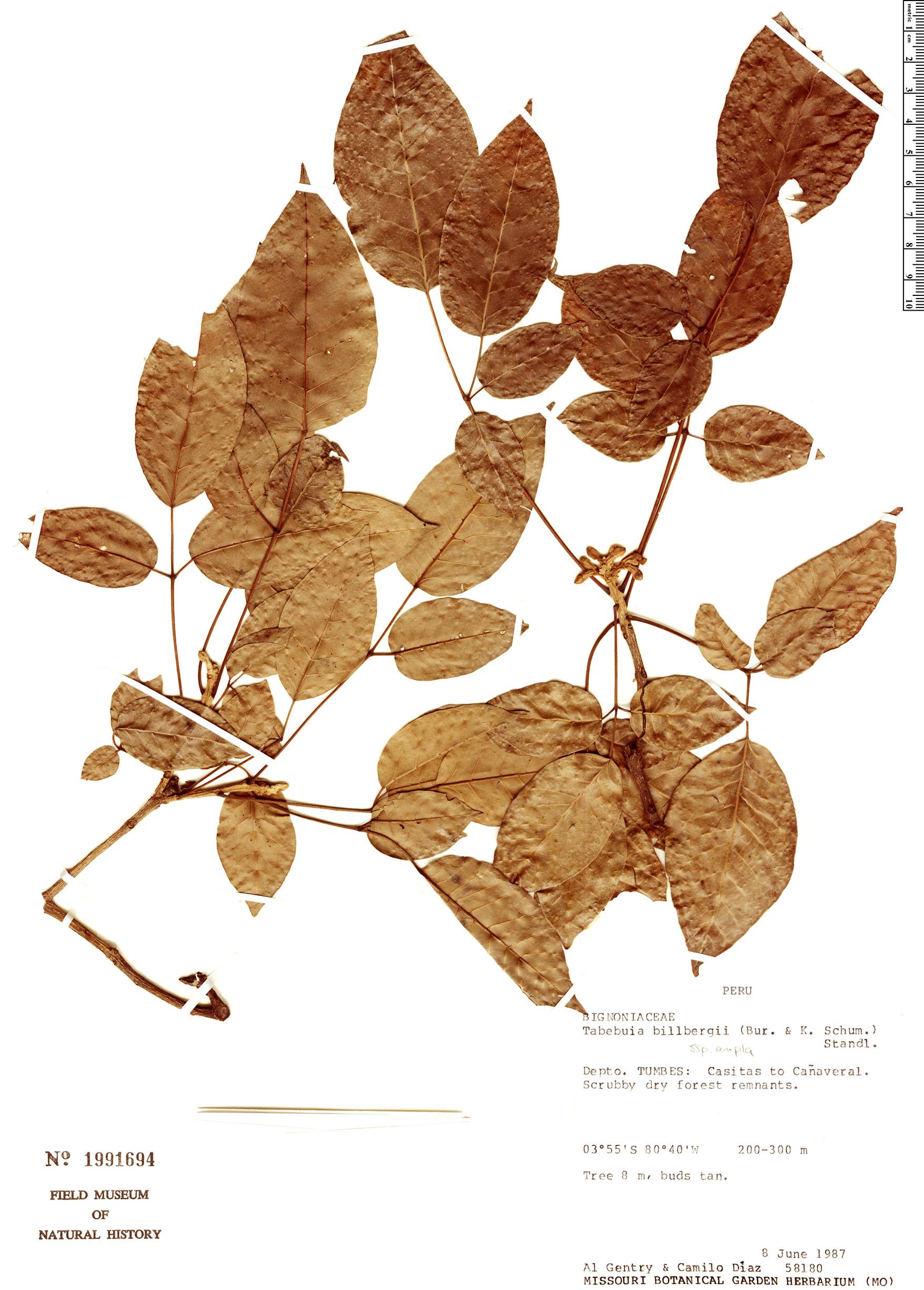 Specimen: Handroanthus billbergii