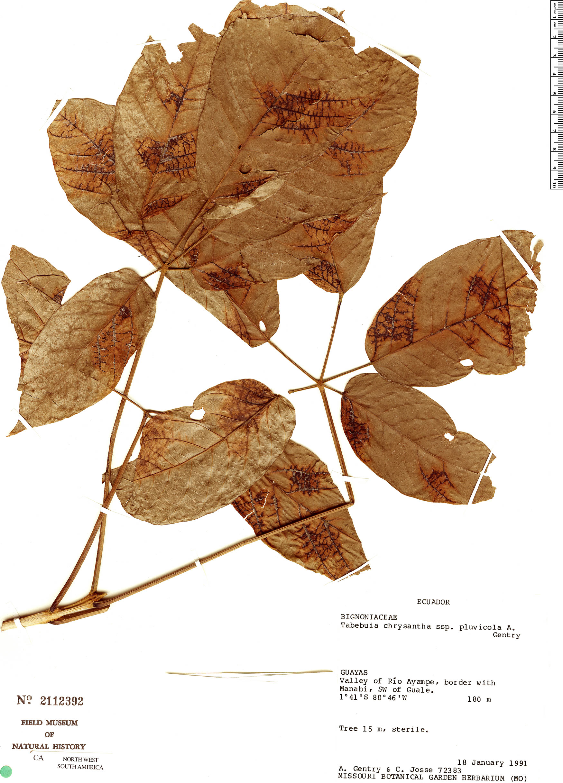 Specimen: Handroanthus chrysanthus