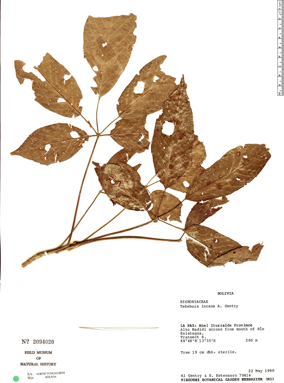 Specimen: Handroanthus incanus
