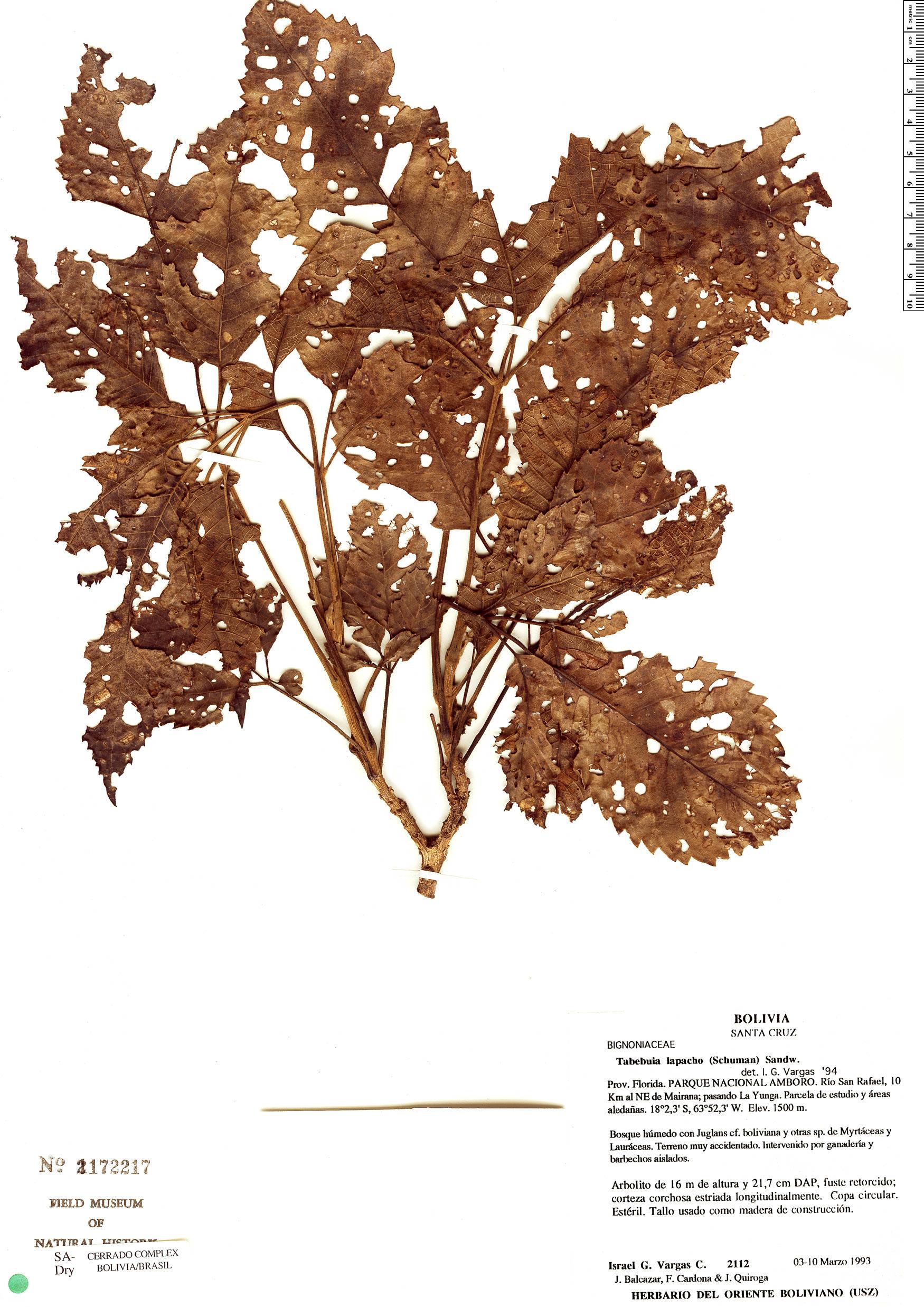 Specimen: Handroanthus lapacho