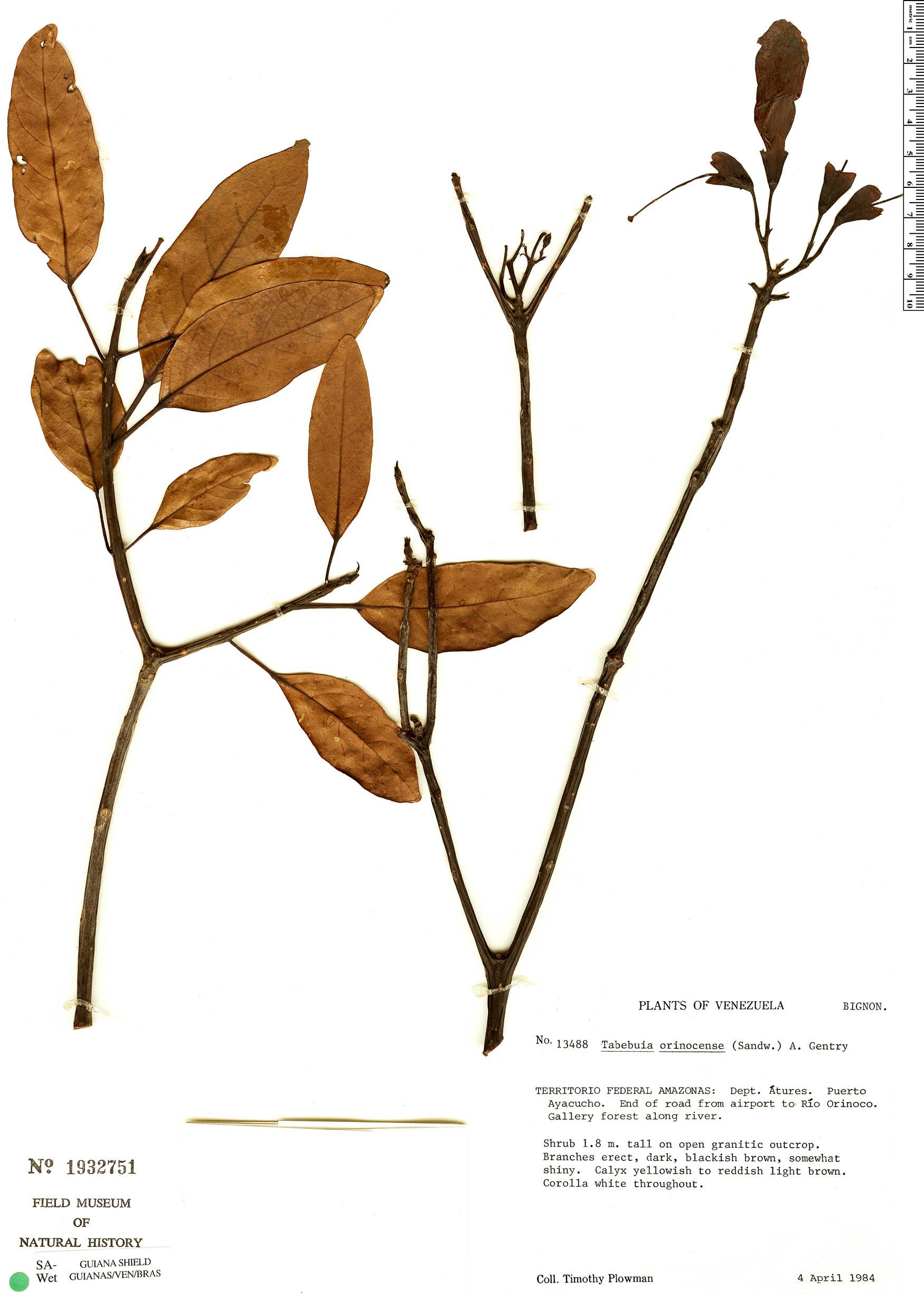 Specimen: Tabebuia orinocensis