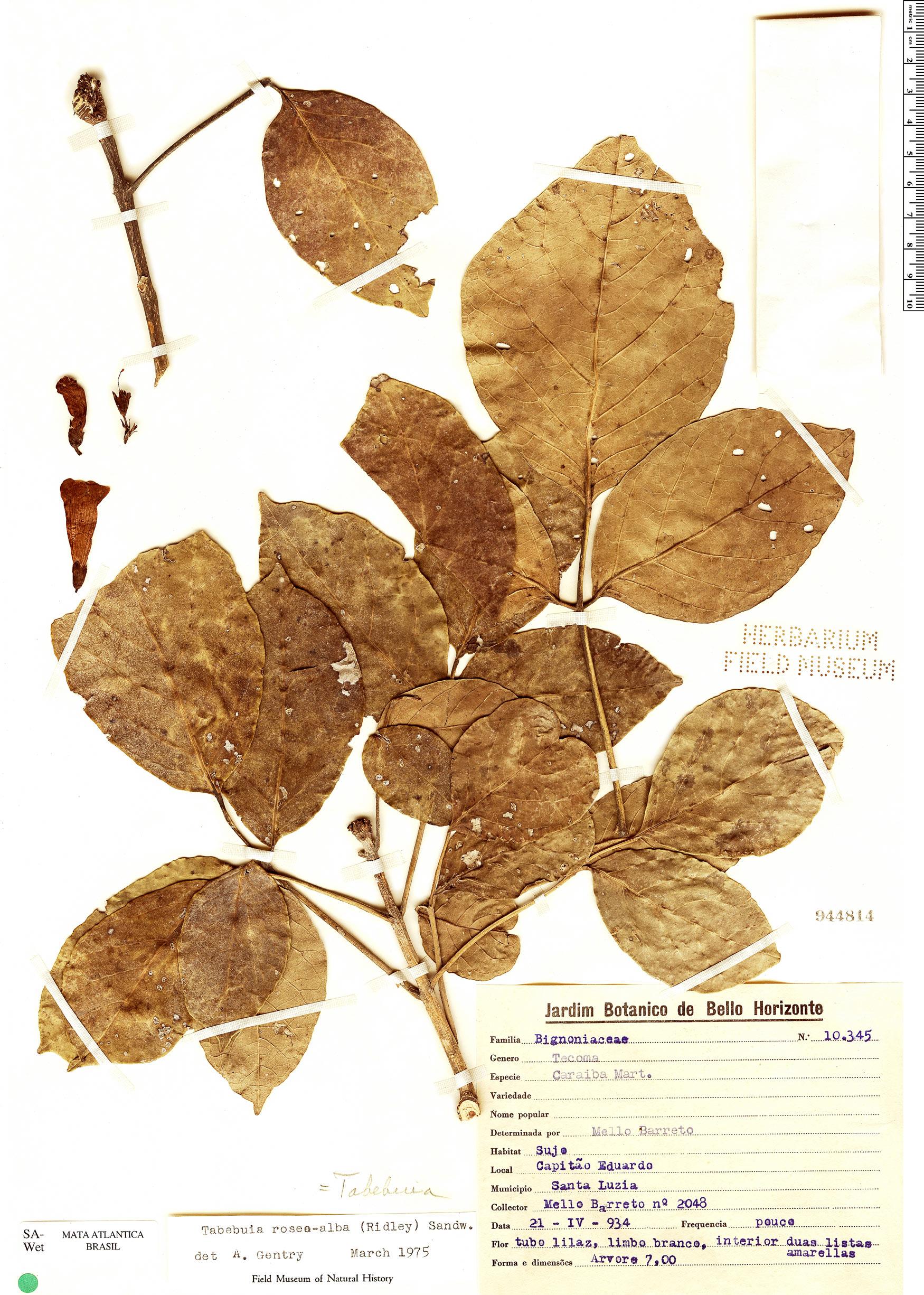 Specimen: Tabebuia roseoalba