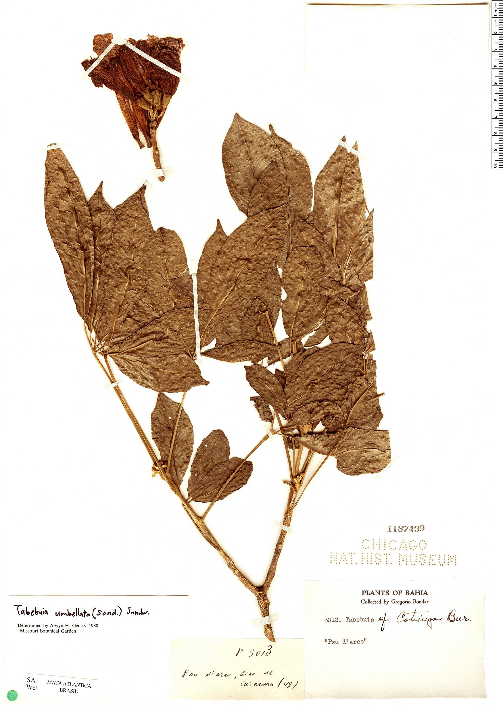 Specimen: Handroanthus umbellatus