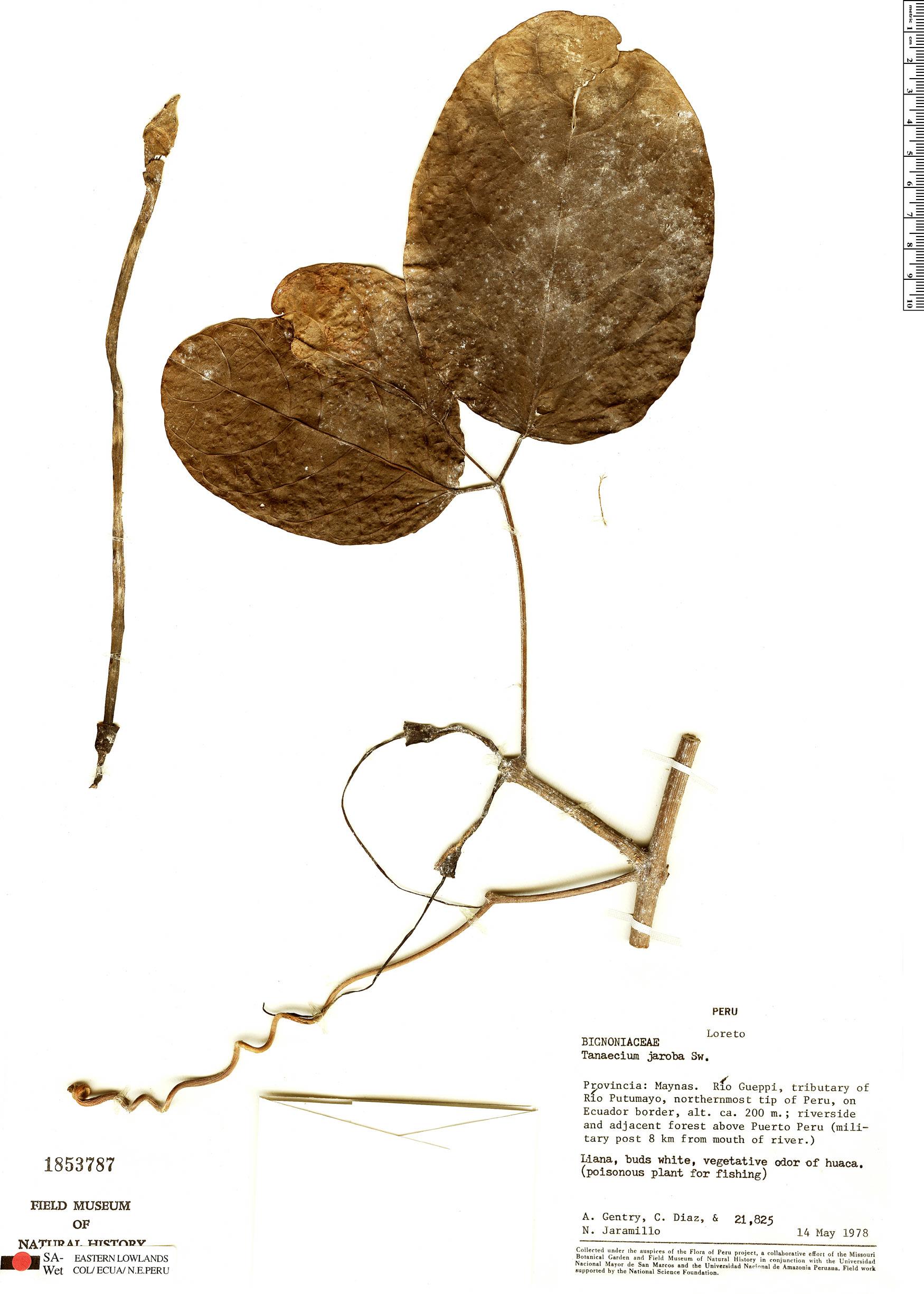 Specimen: Tanaecium jaroba