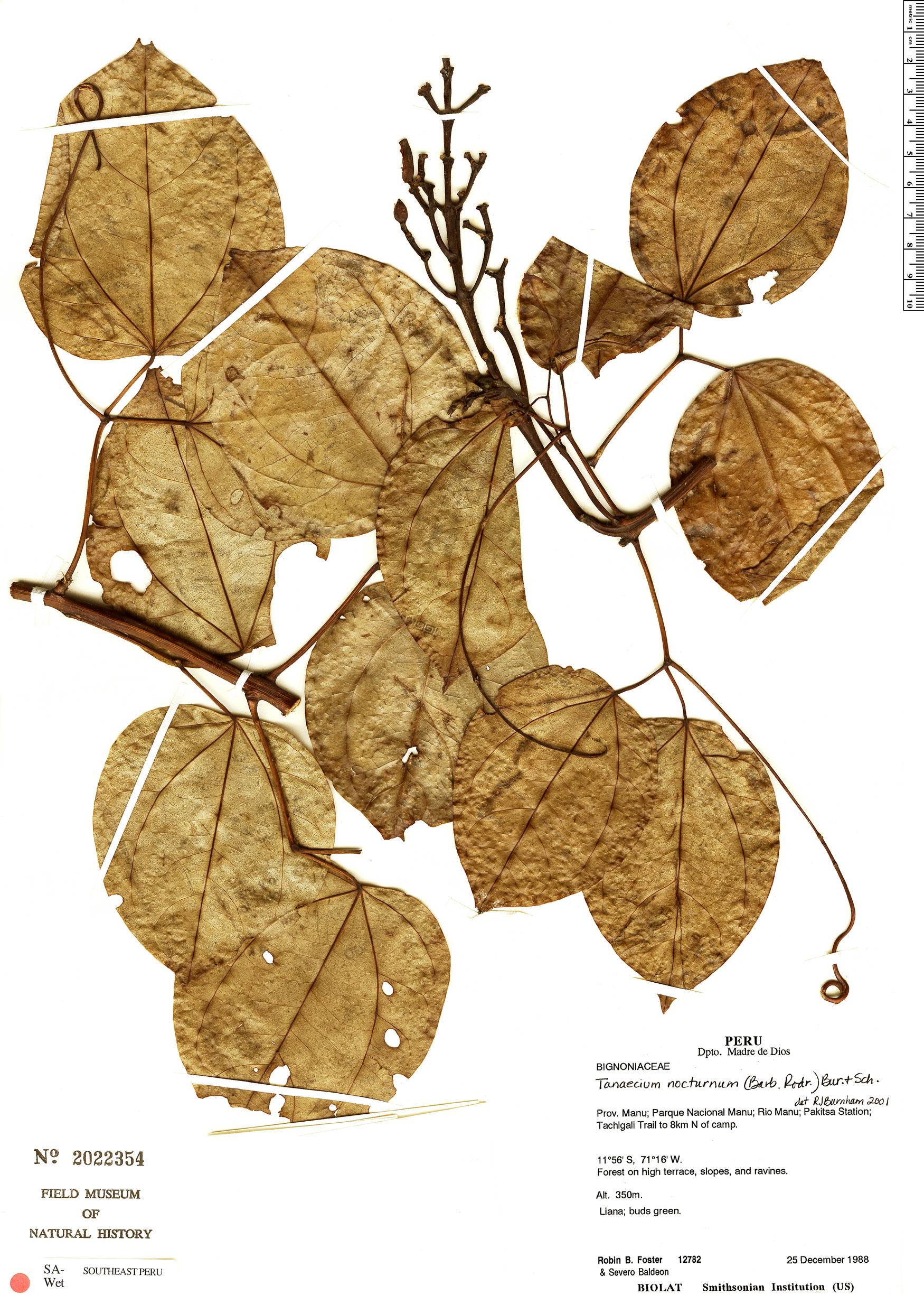 Specimen: Bignonia nocturna