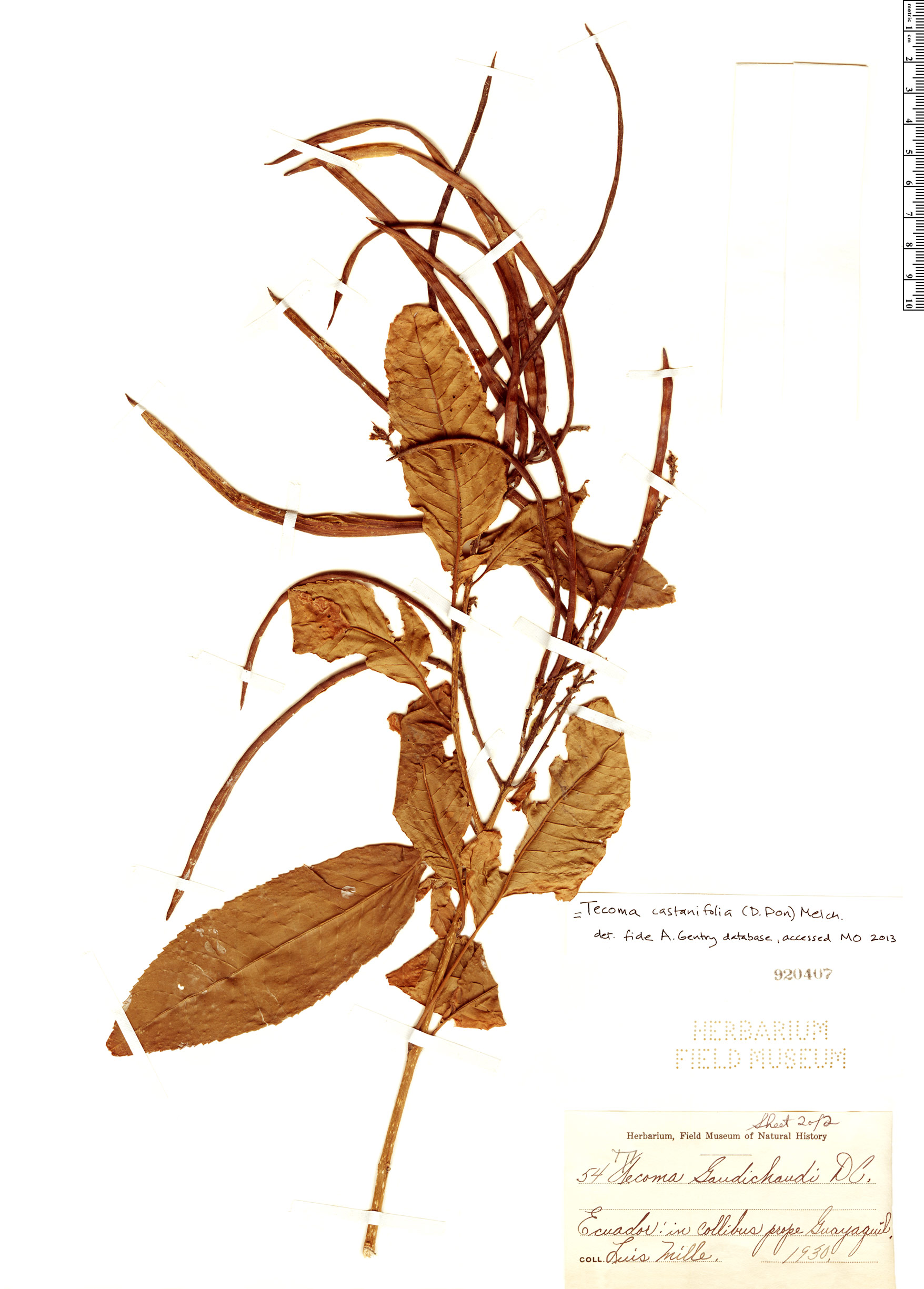 Specimen: Tecoma castanifolia