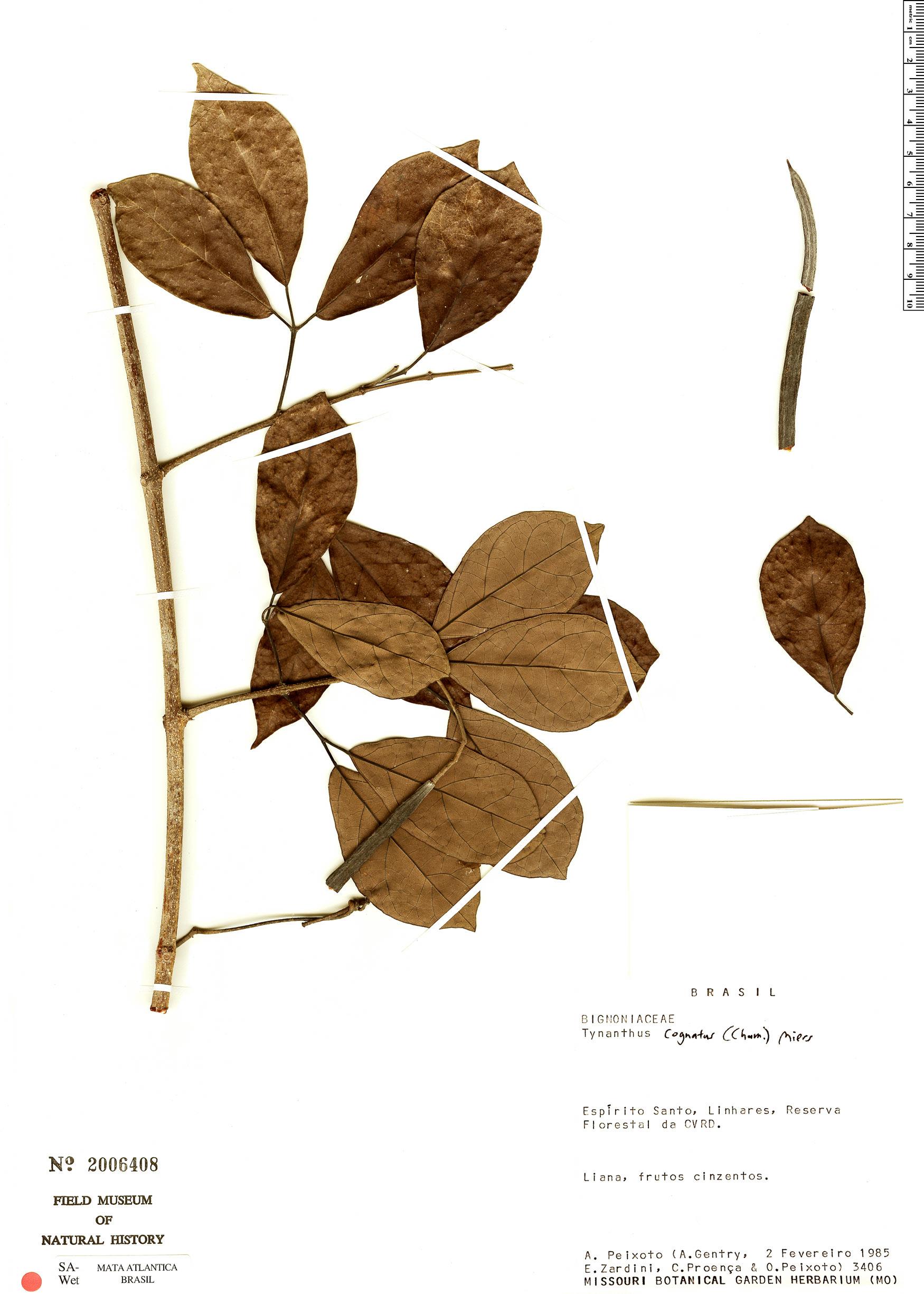 Specimen: Tynanthus cognatus