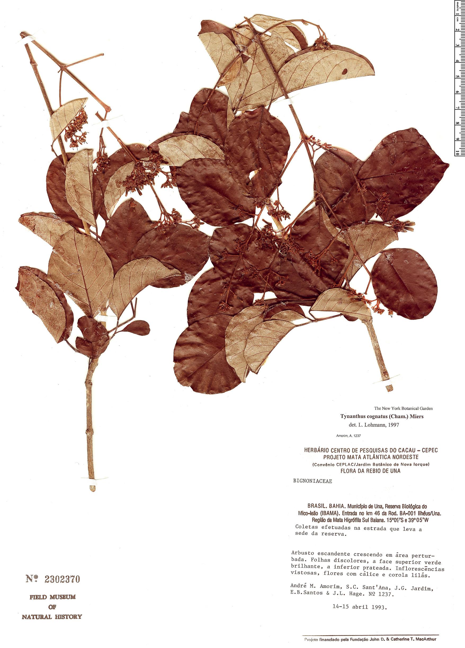 Specimen: Fridericia rego