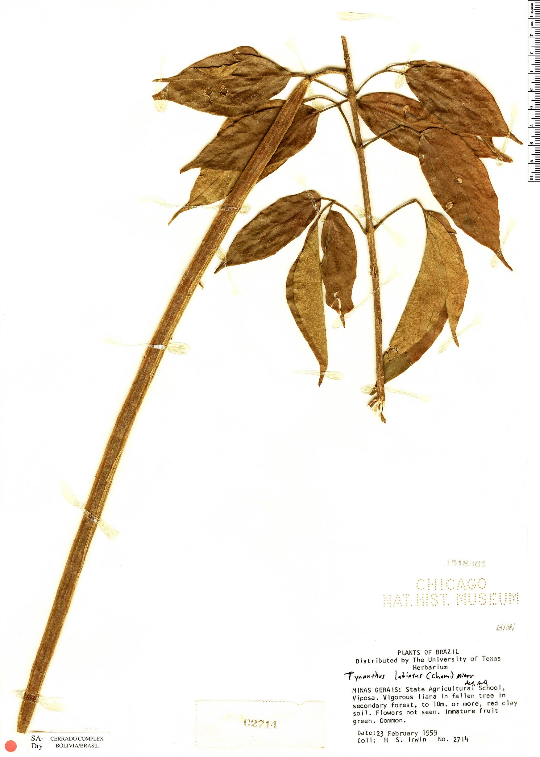 Espécimen: Tynanthus labiatus
