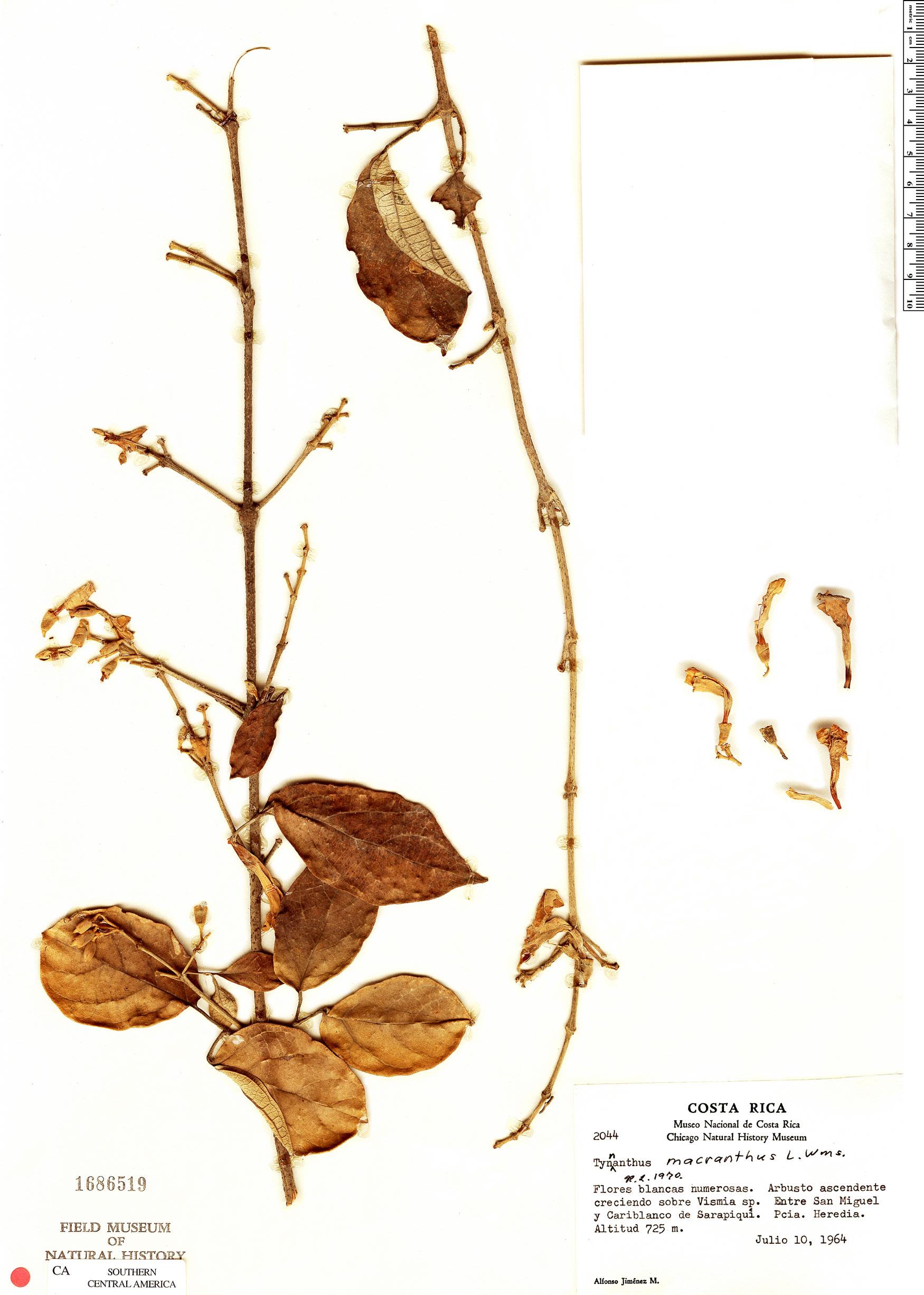 Specimen: Tynanthus macranthus