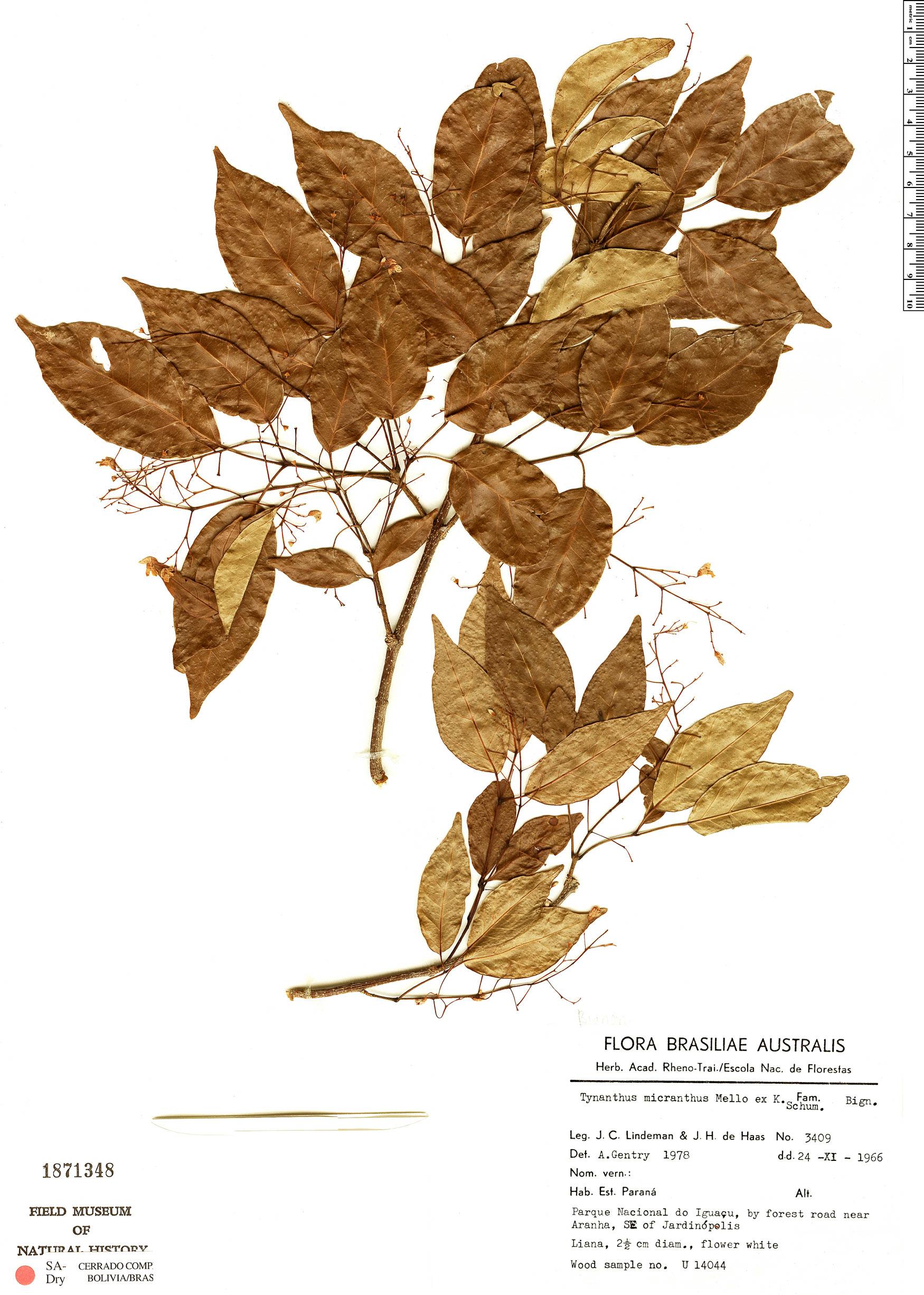 Specimen: Tynanthus micranthus