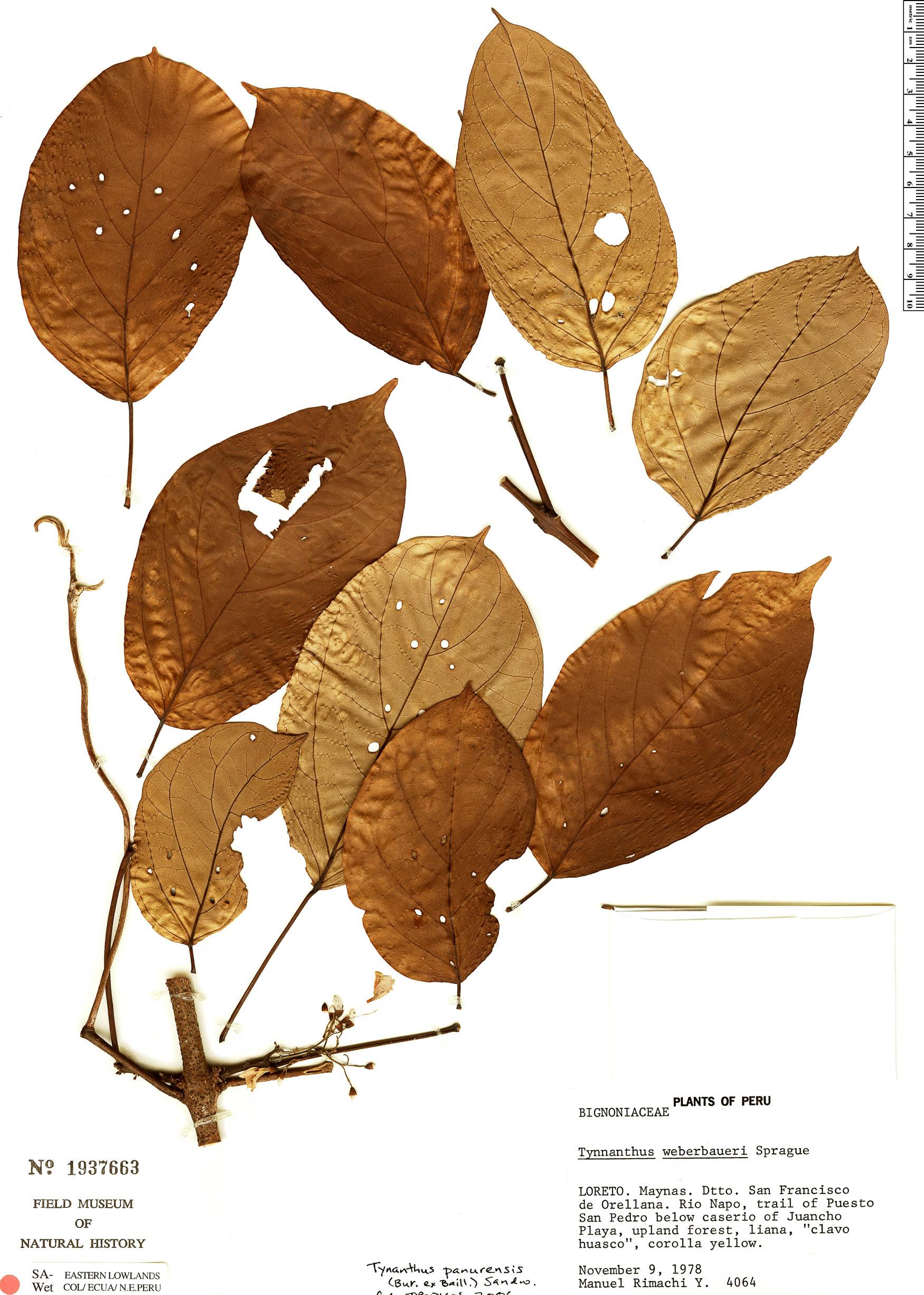 Specimen: Tynanthus panurensis