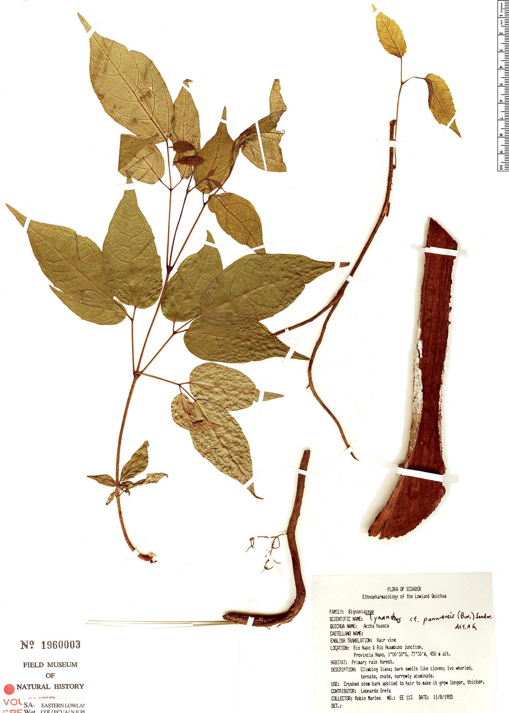 Espécimen: Tynanthus panurensis