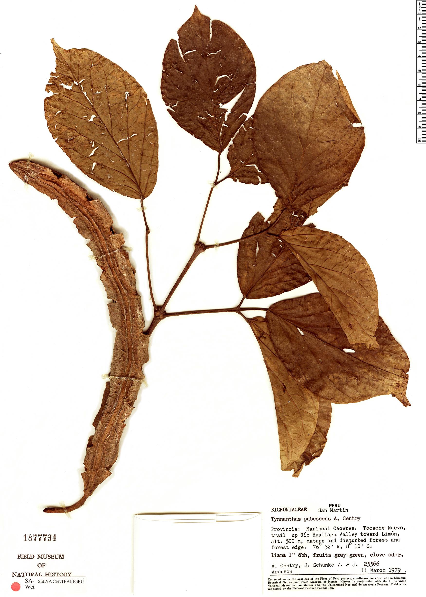 Specimen: Tynanthus pubescens