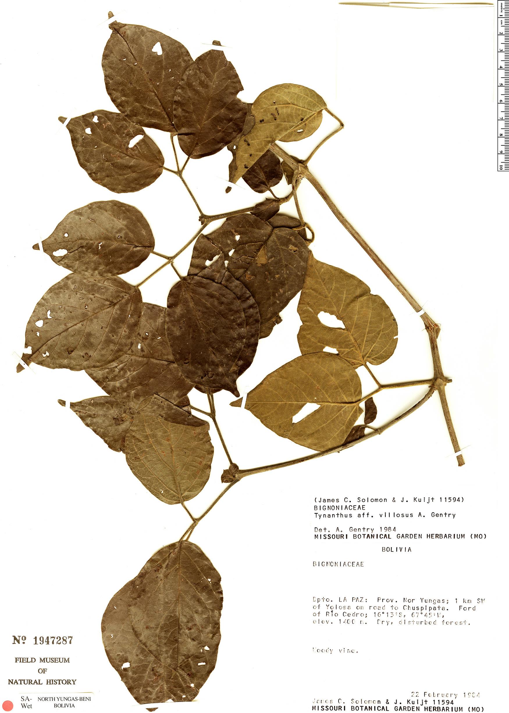 Specimen: Tynanthus villosus