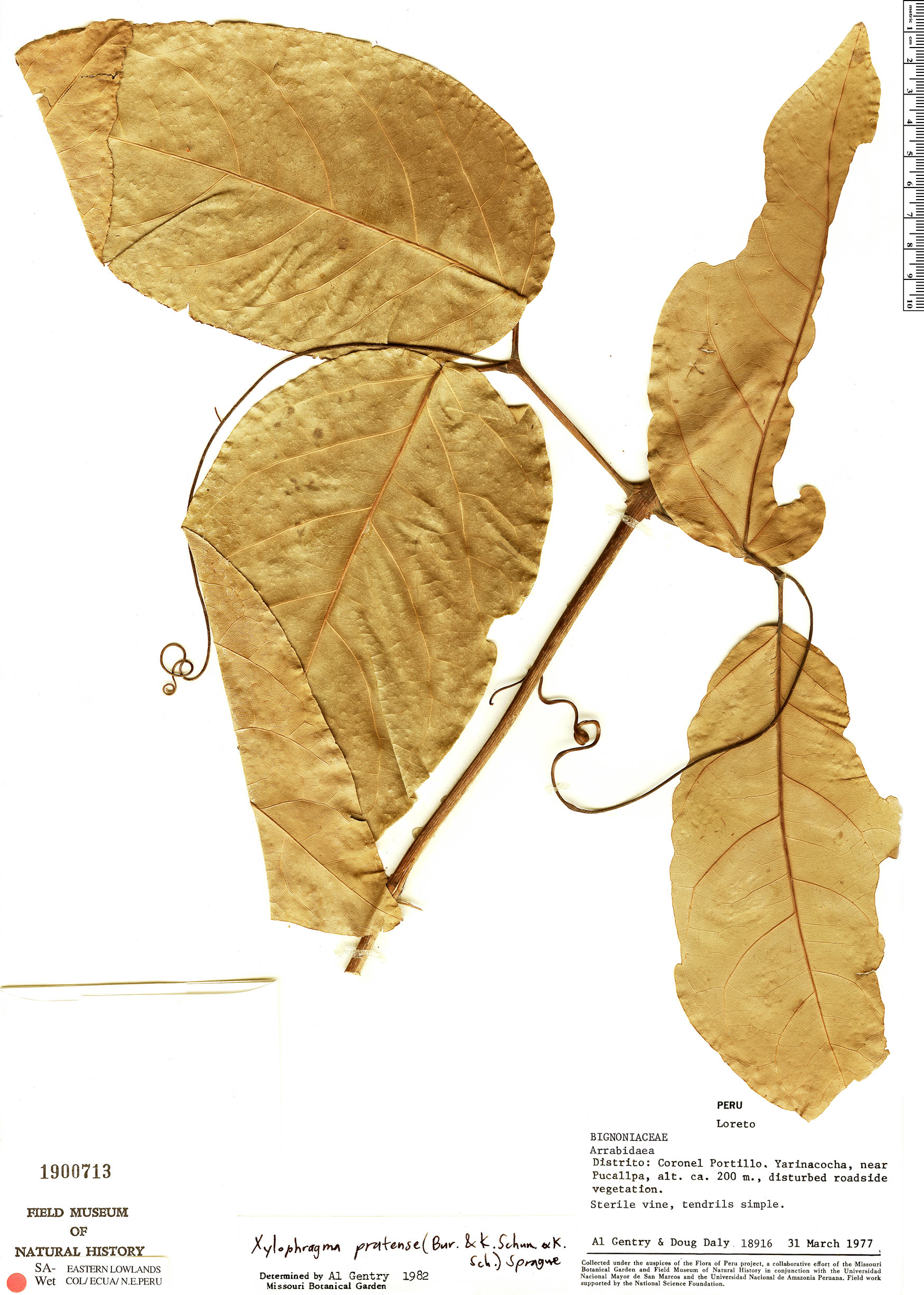 Specimen: Xylophragma pratense