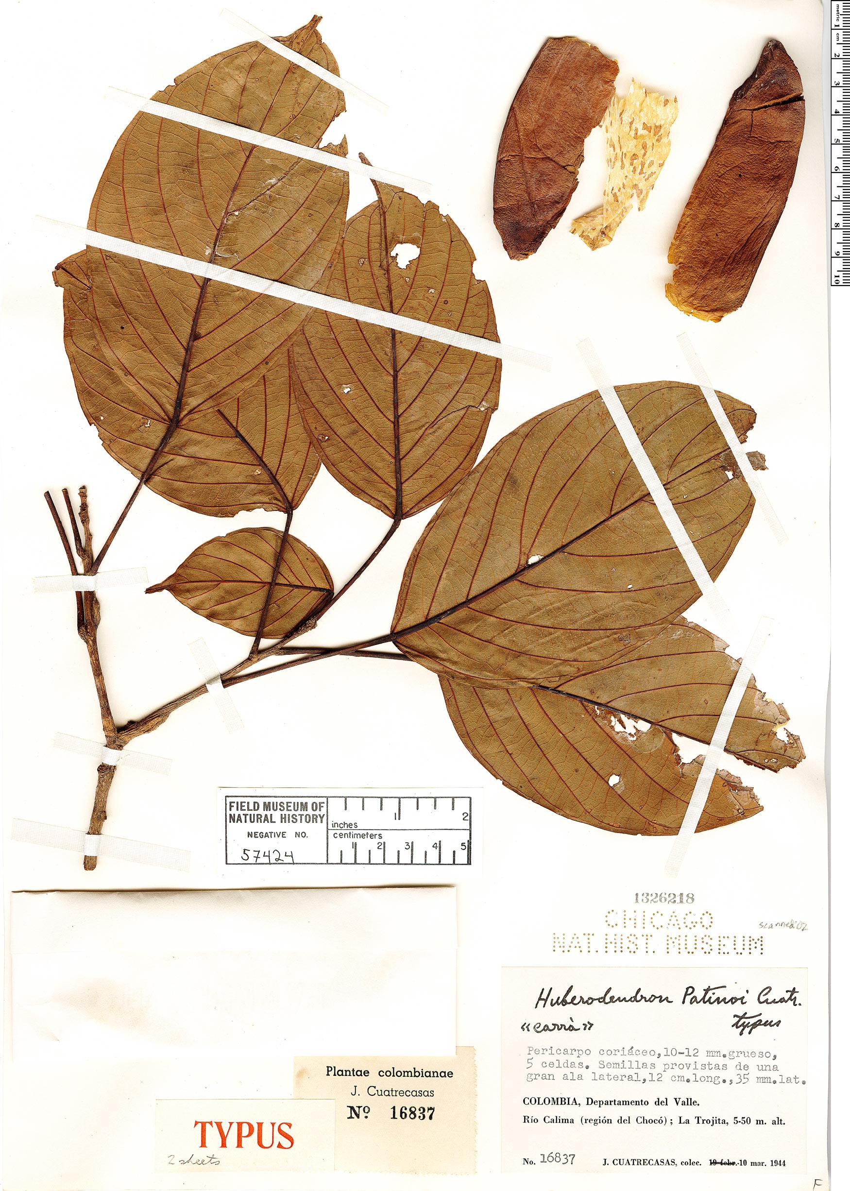 Specimen: Huberodendron patinoi