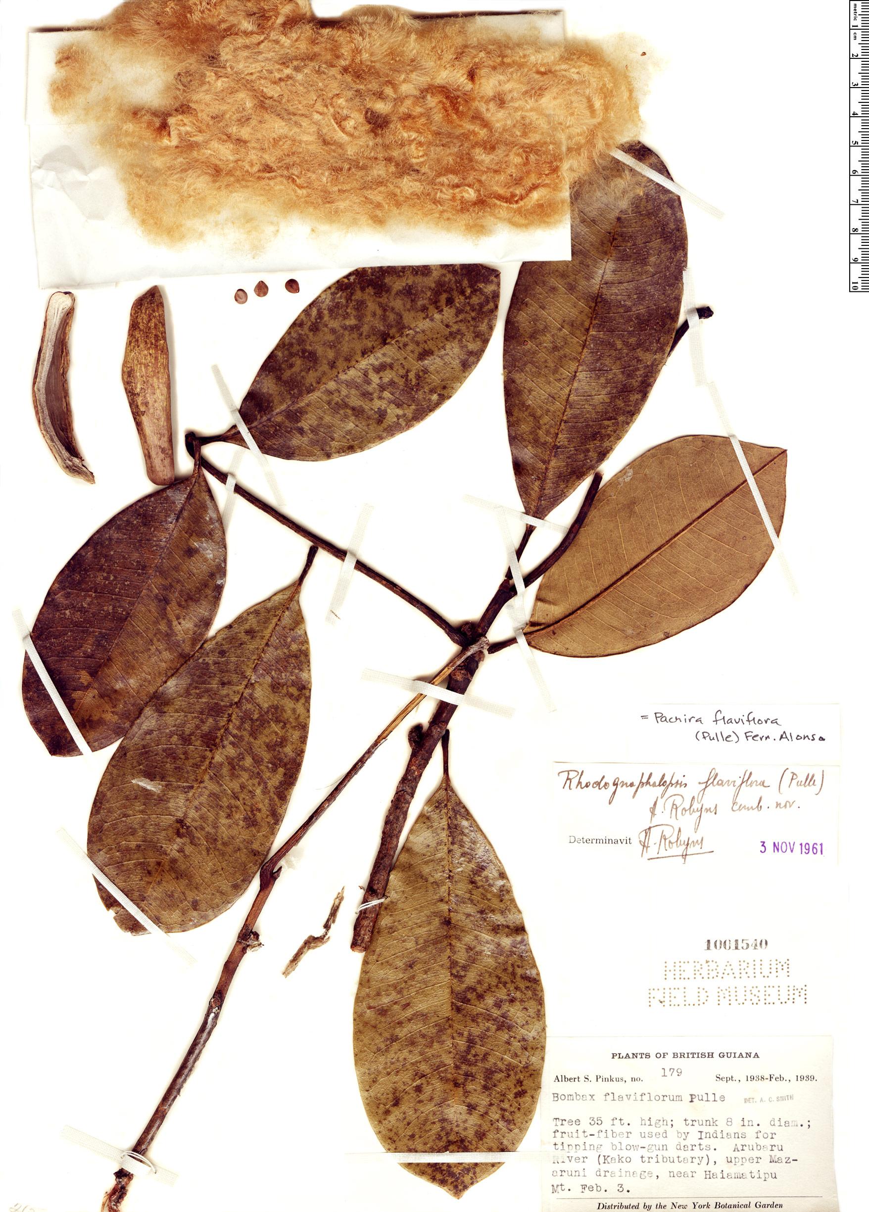 Specimen: Pachira flaviflora