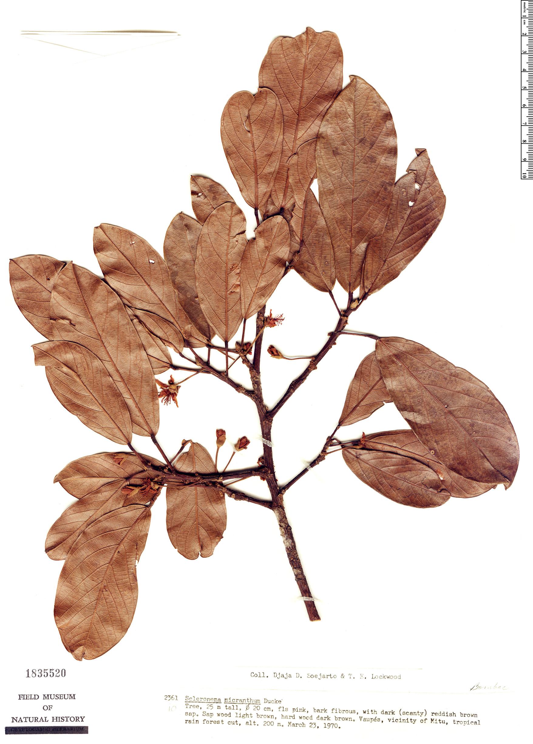 Specimen: Scleronema micranthum
